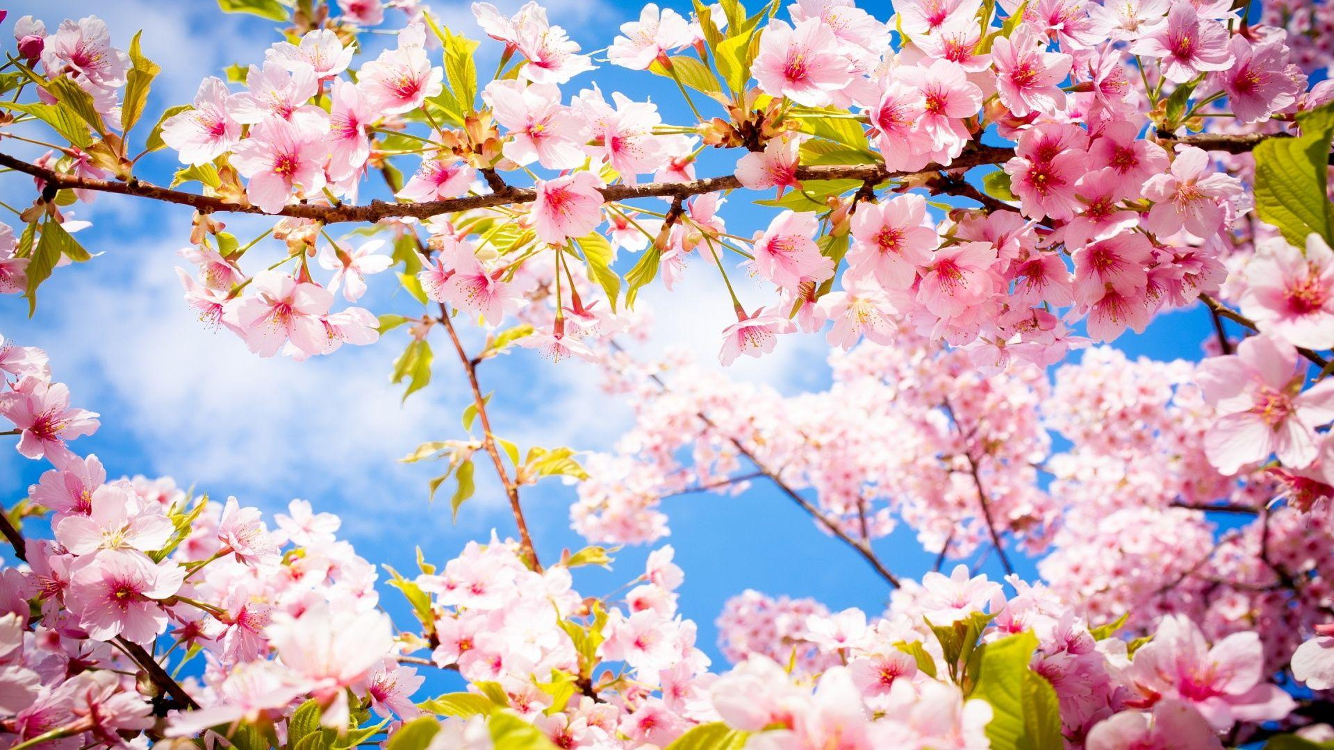 Spring Wallpapers Cherry Blossom HD Wallpapers