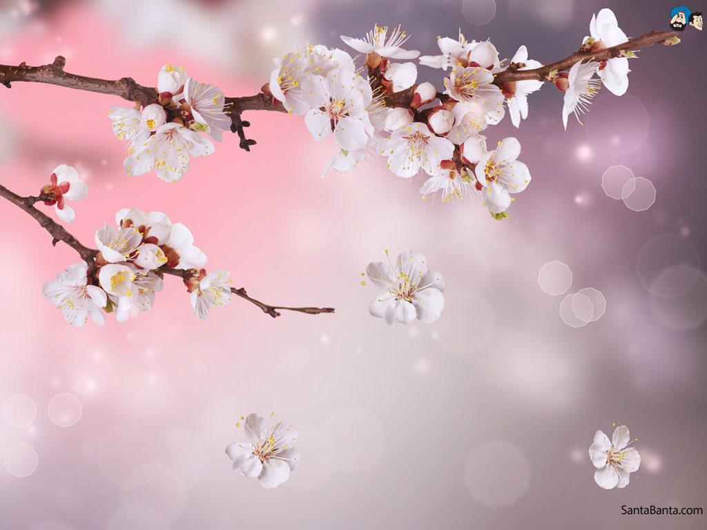 Cherry Blossoms Wallpapers