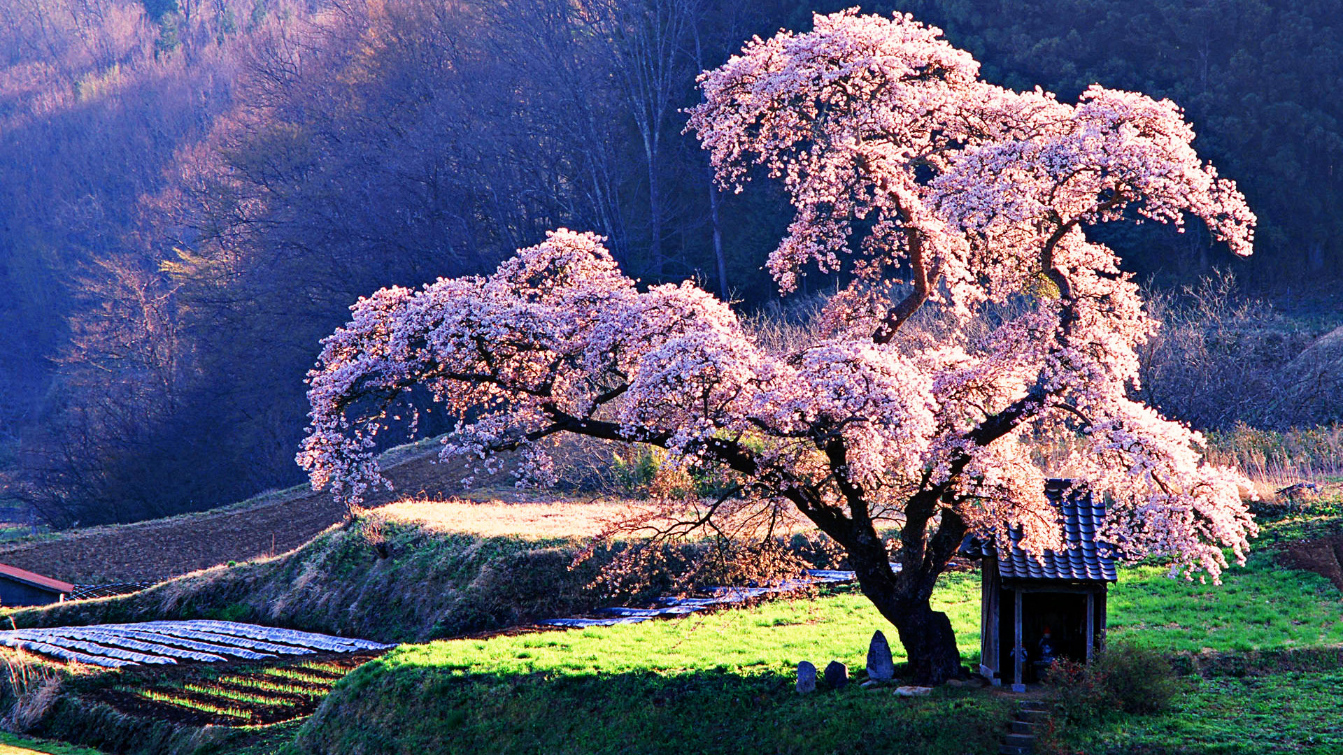 Download Cherry Blossom Wallpapers Wide aHuHaH