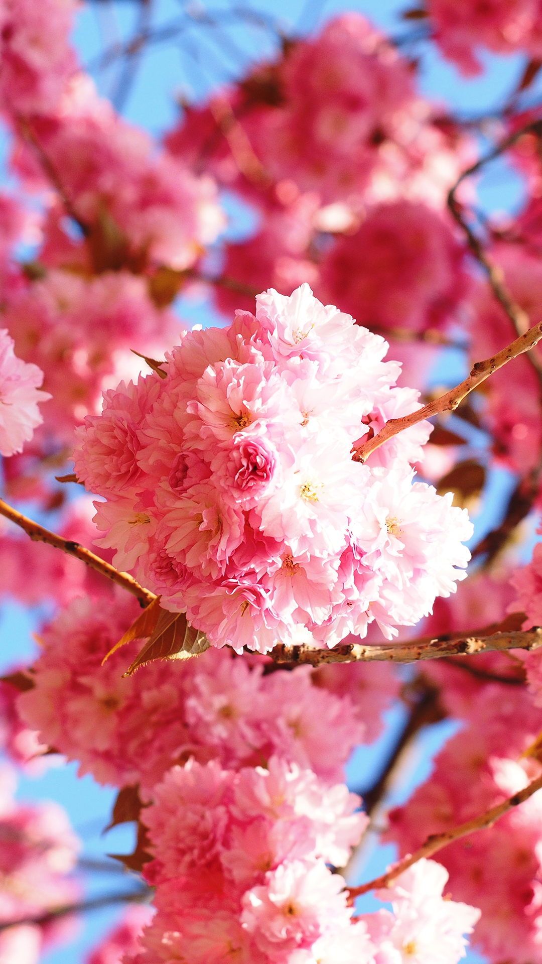 Cherry Blossoms Wallpapers Wallpaper Cave