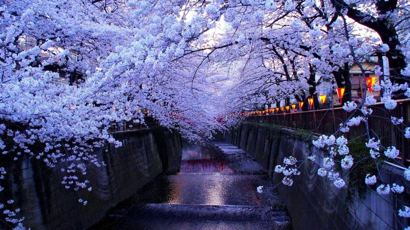 Cherry Blossom In Tokyo HD Wallpapers