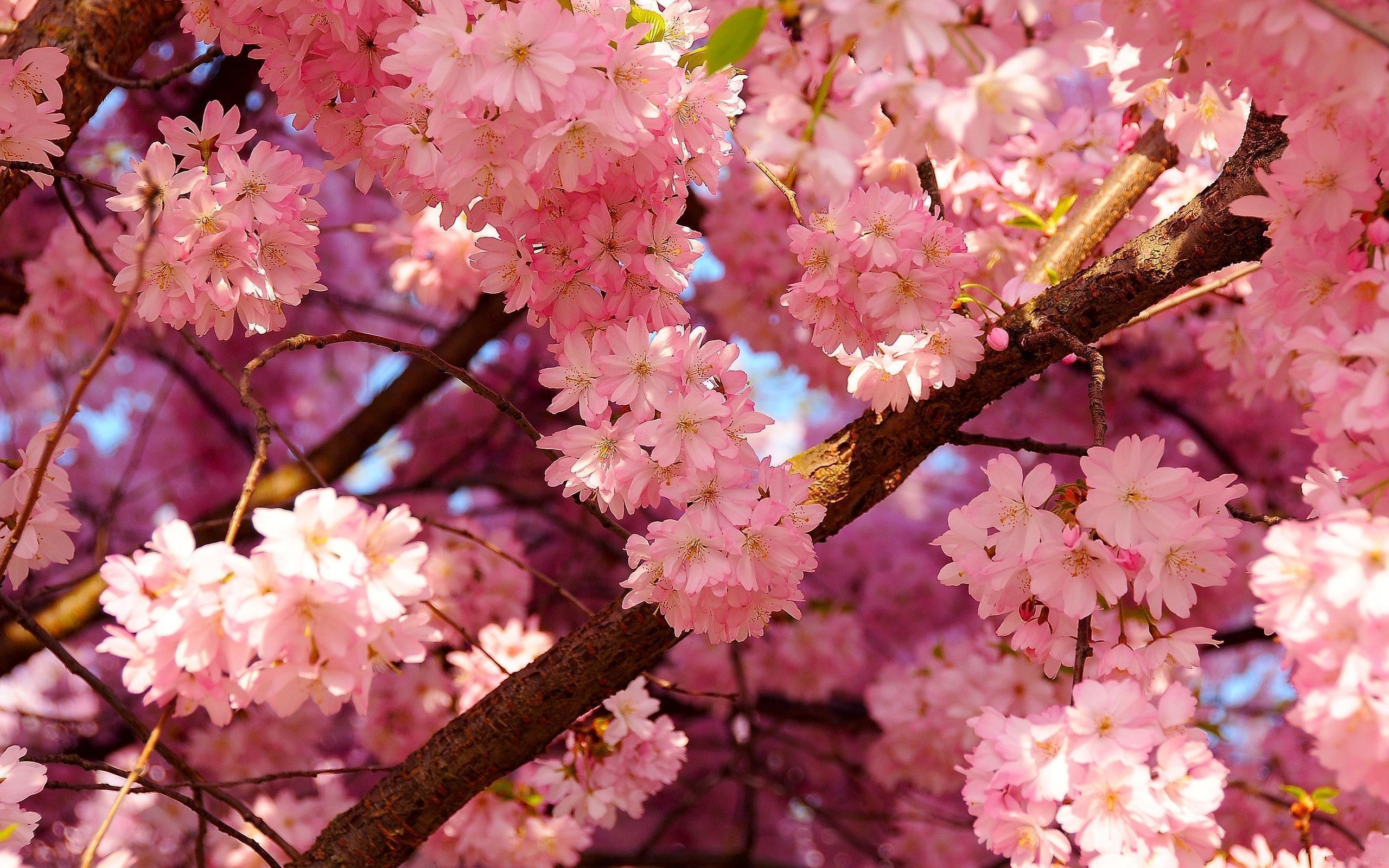 Japanese Cherry Blossom Wallpapers