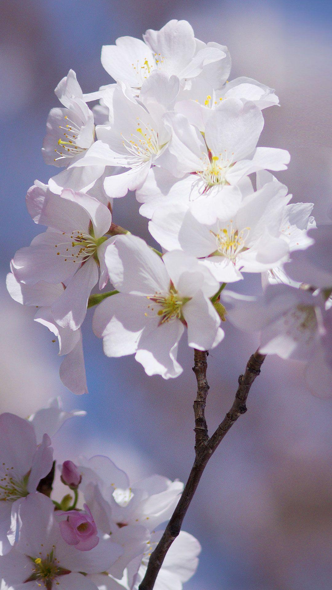 Free Android Cherry Blossom Wallpapers iPhone