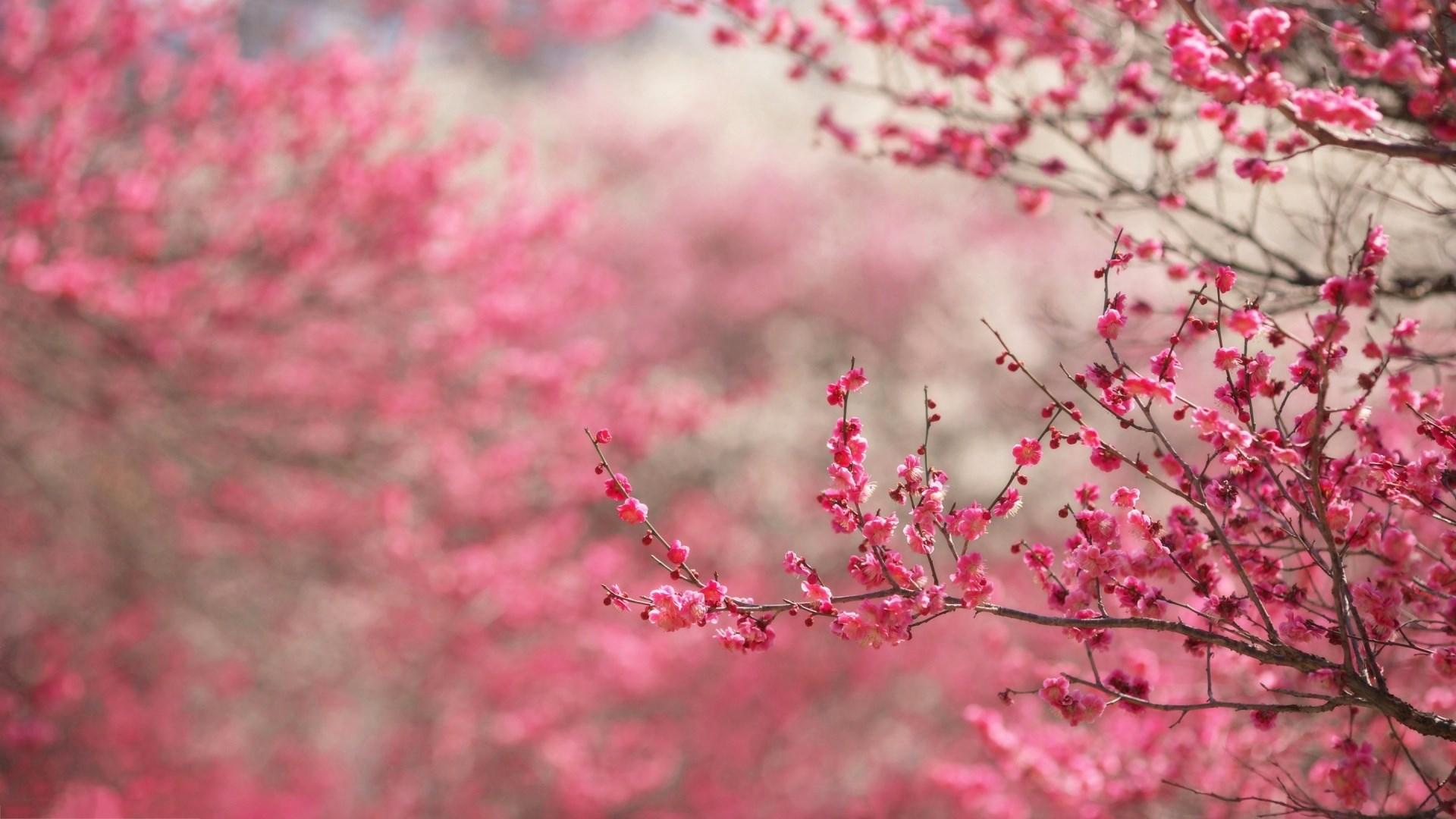 cherry blossom widescreen hd wallpapers