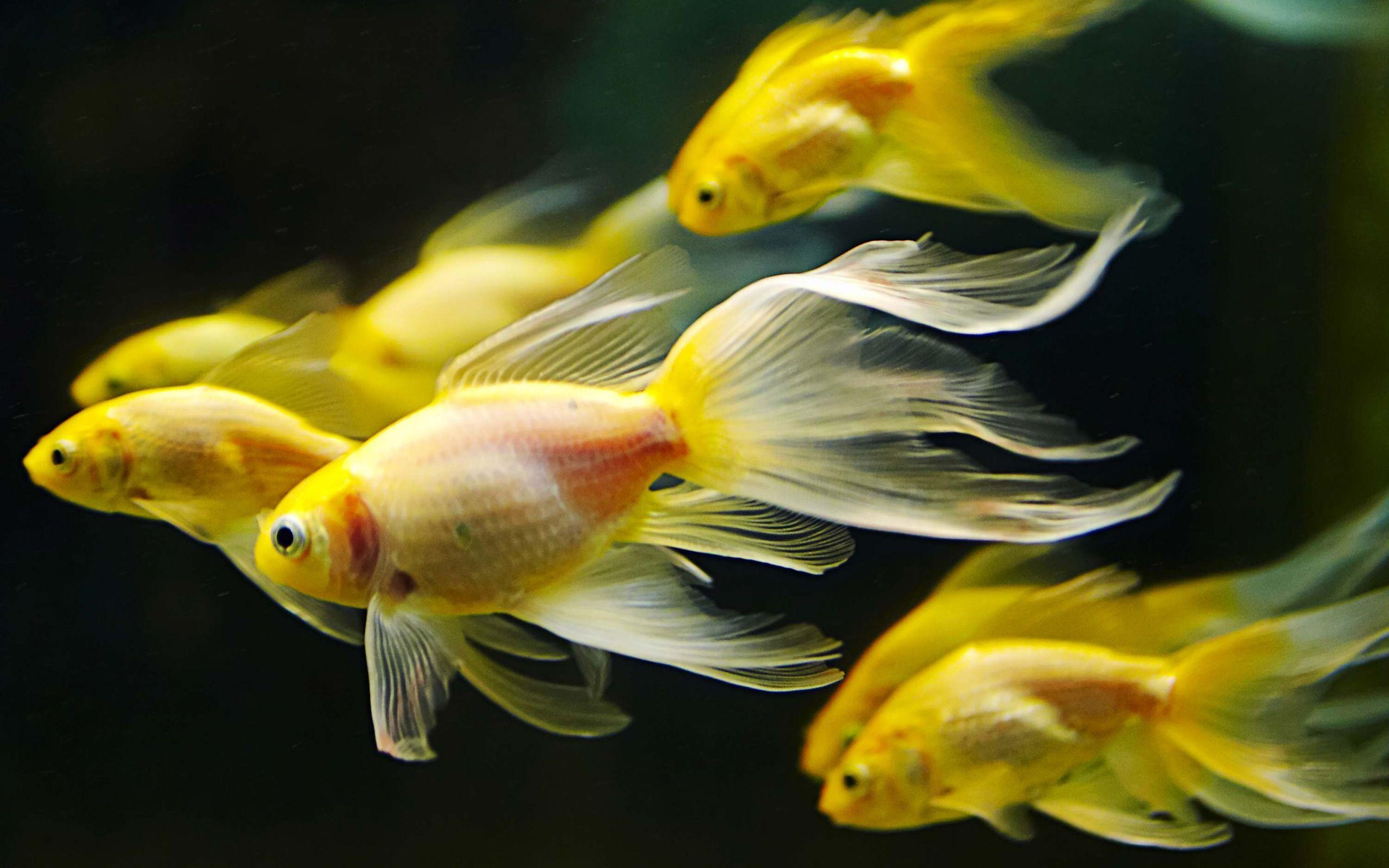 50+ Colorful Goldfish Wallpapers