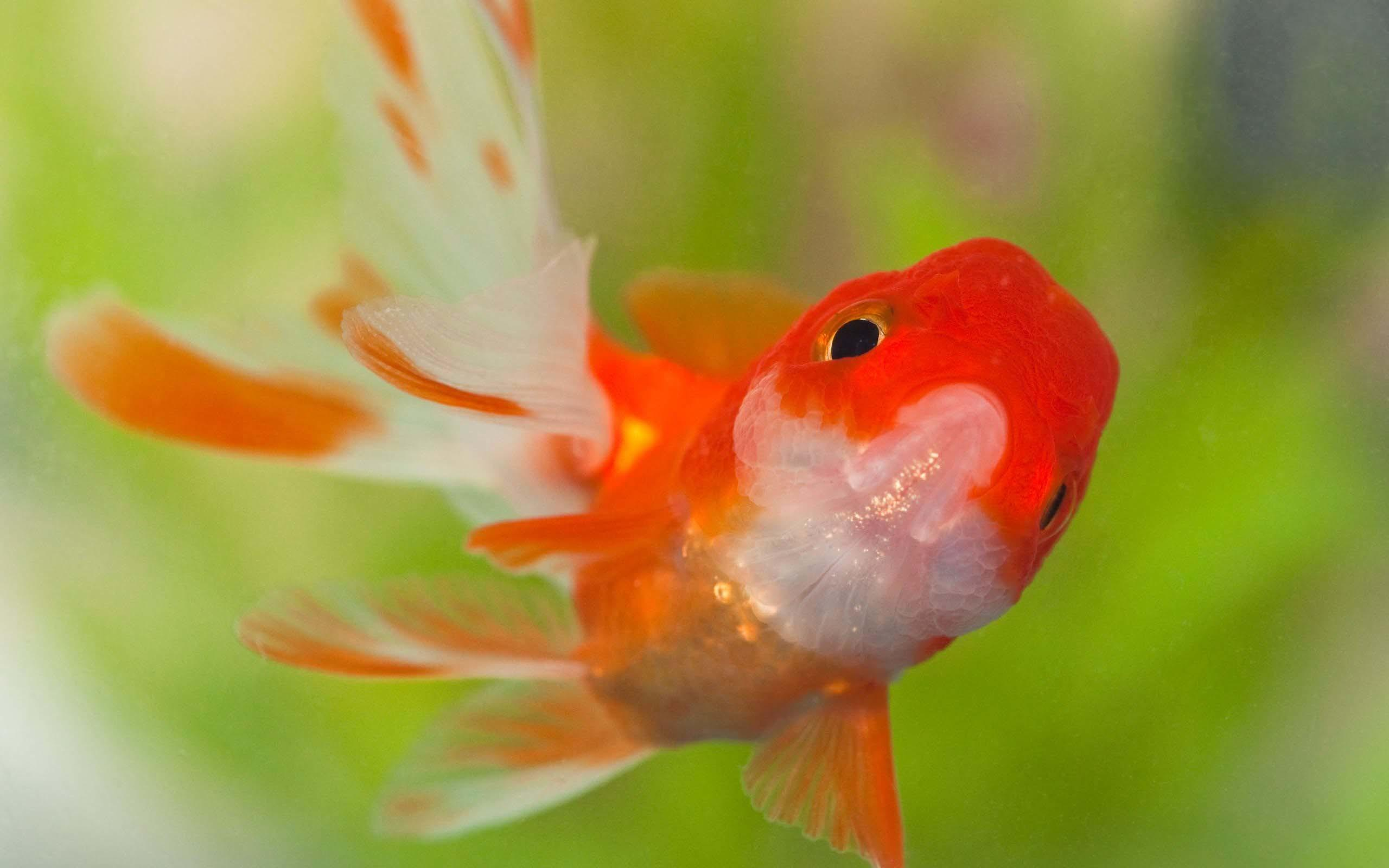 58+ Gold Fish Wallpapers