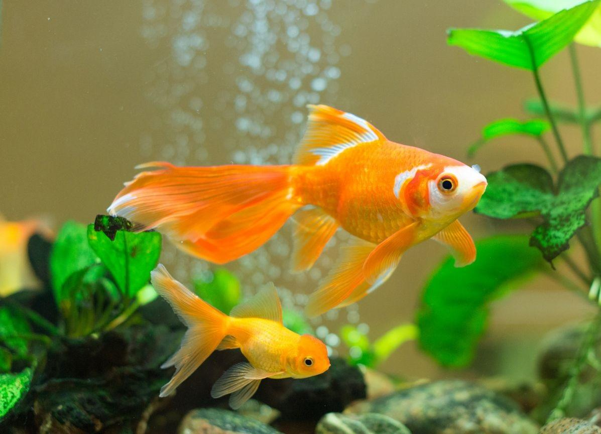 Goldfish Image Backgrounds HD Wallpapers