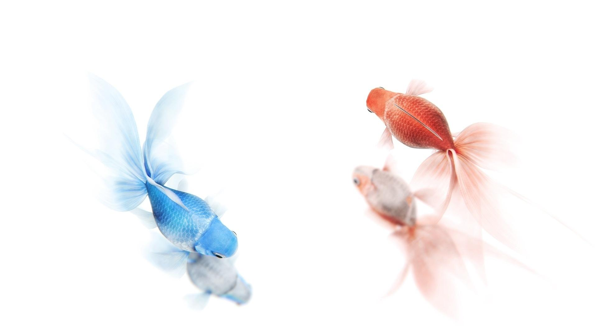 Goldfish HD Wallpapers
