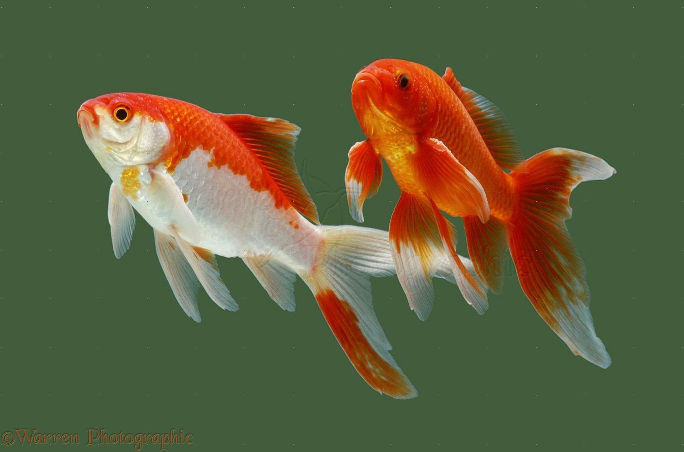Goldfish Fish Facts & Wallpapers Pictures Download