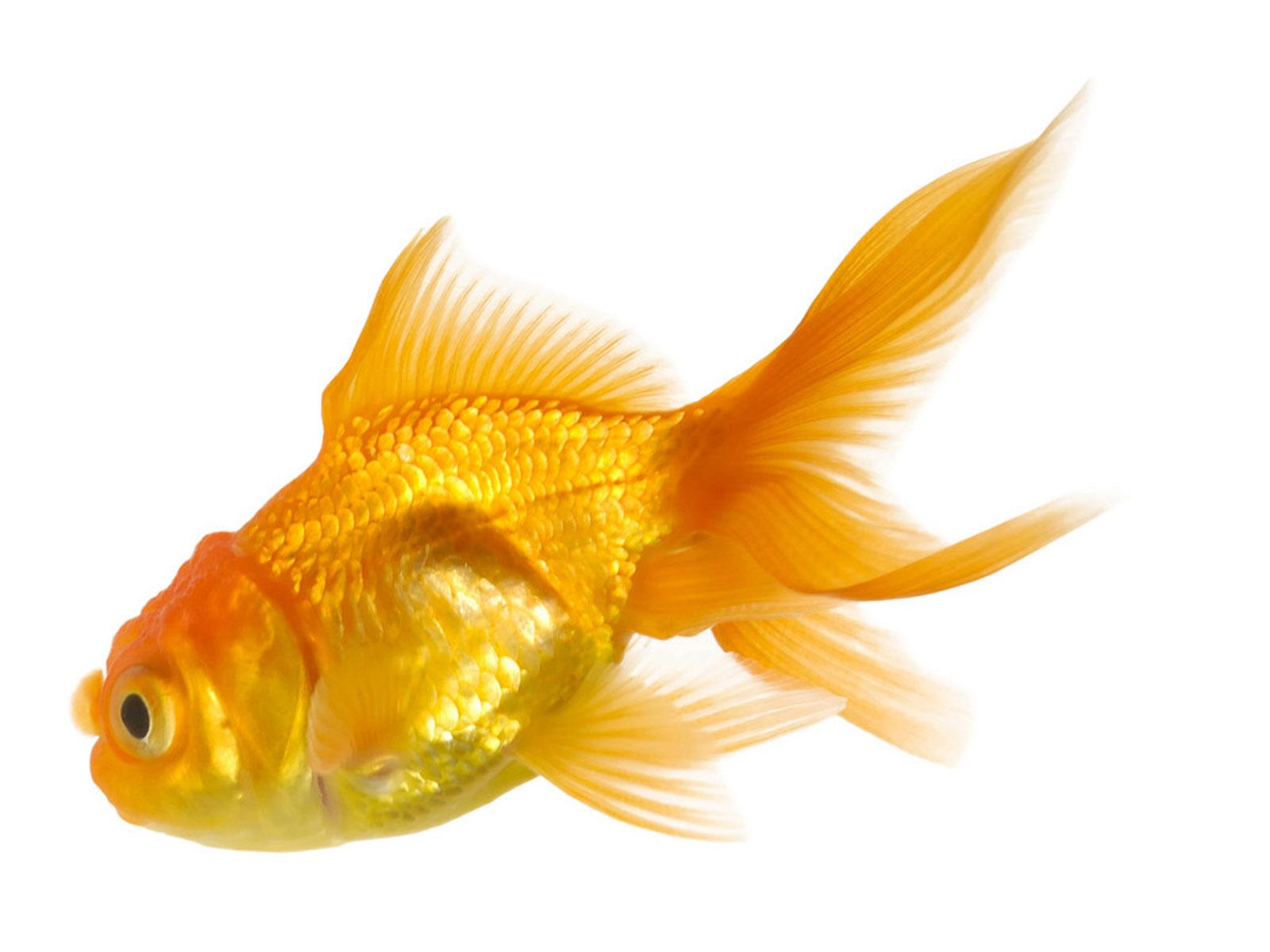 7681 gold fish wallpapers
