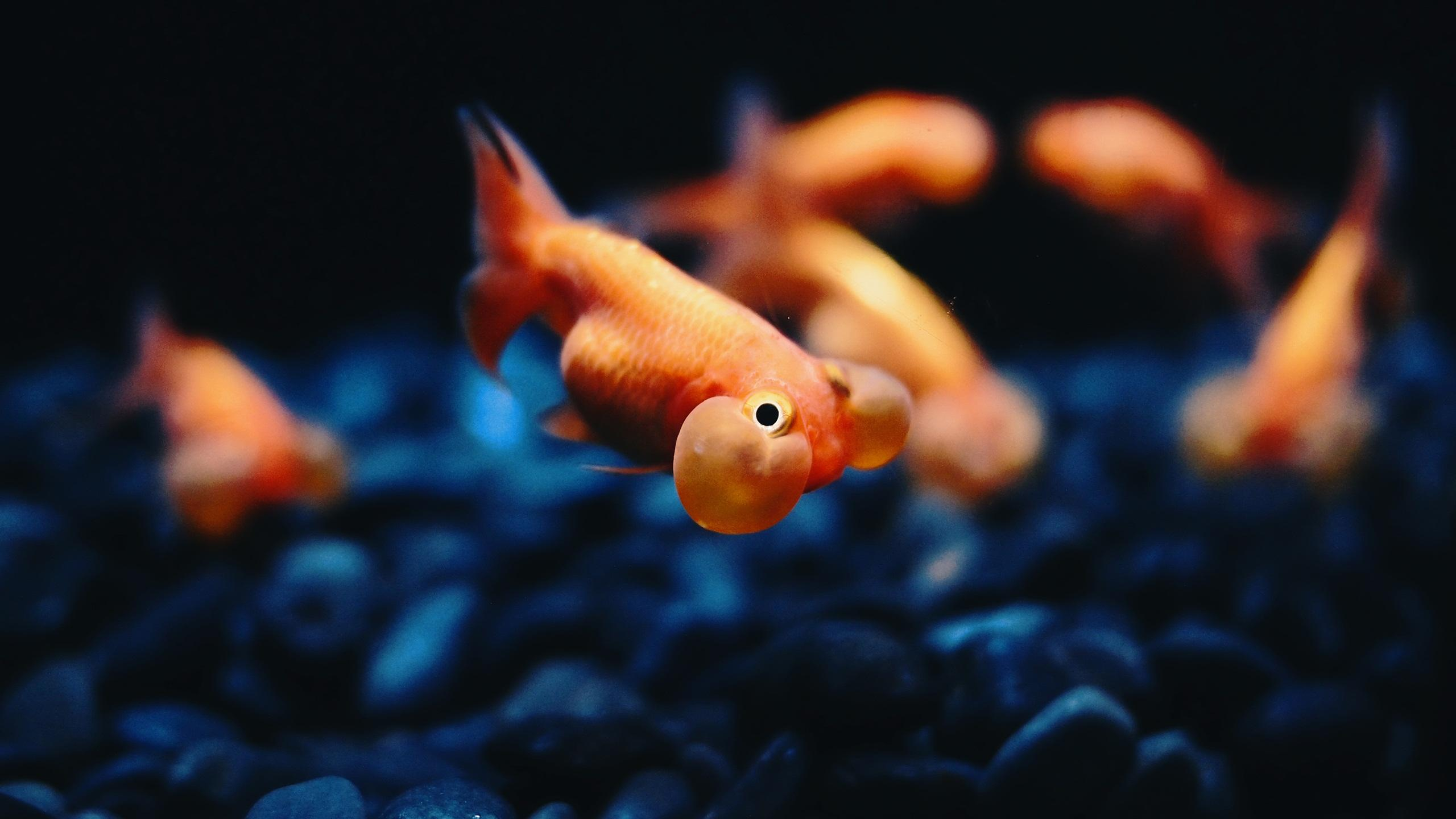 Goldfish Backgrounds Wallpapers 11114