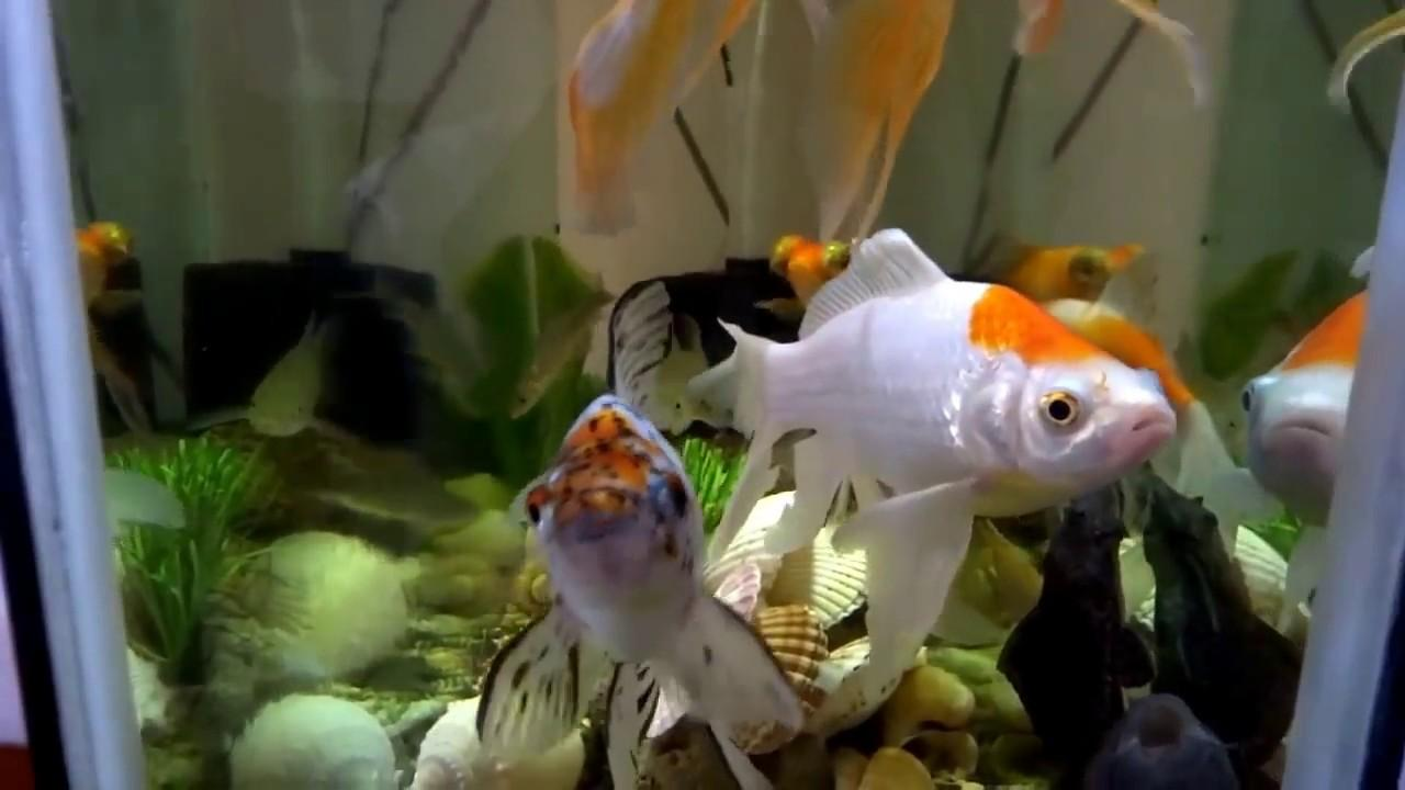 goldfish fish tank wallpapers hd for d full