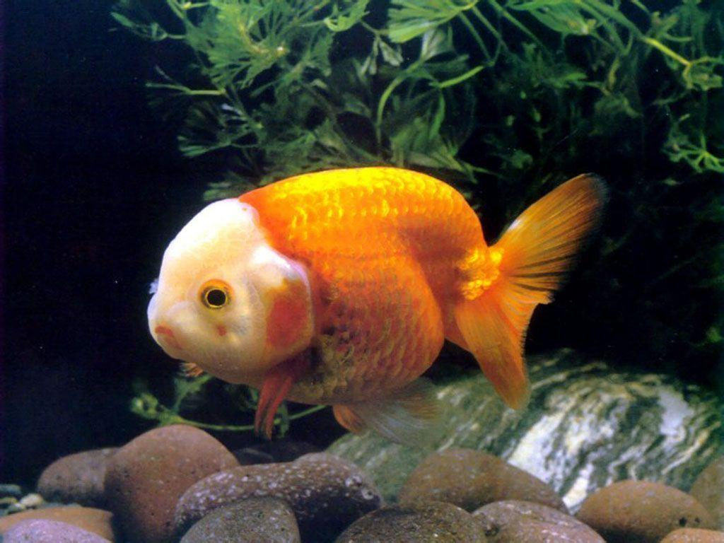 Goldfish Wallpapers – FREE HD WALLPAPERS