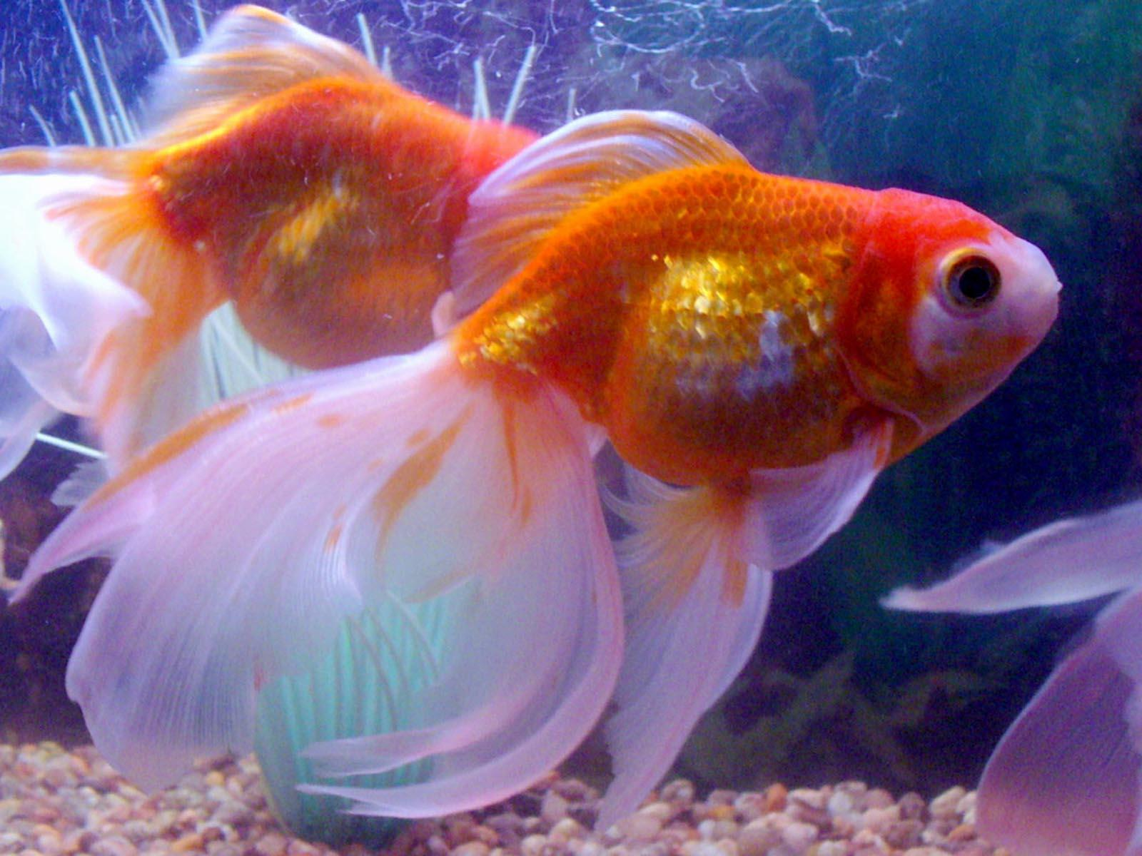 Arts and Image: the best wallpapers you find here: Goldfish Wallpapers