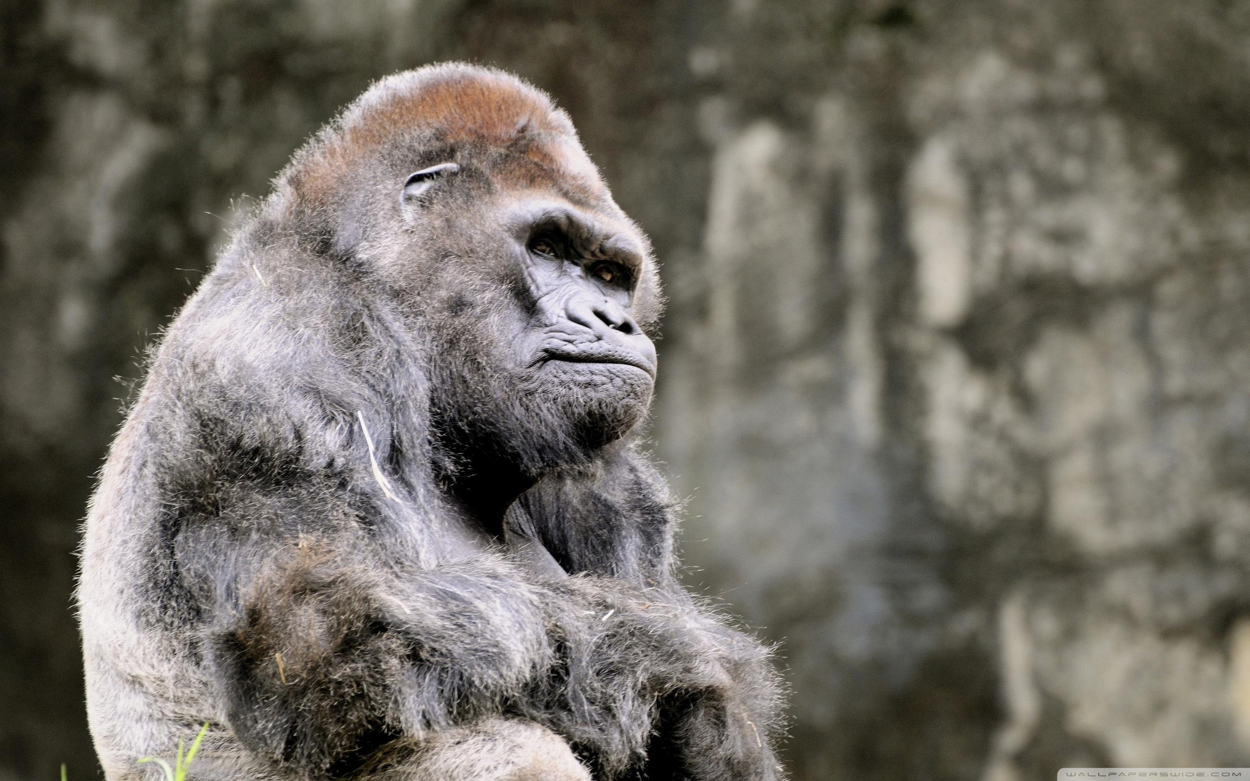 Download The Most Beautiful Thoughtful Gorilla Wallpapers