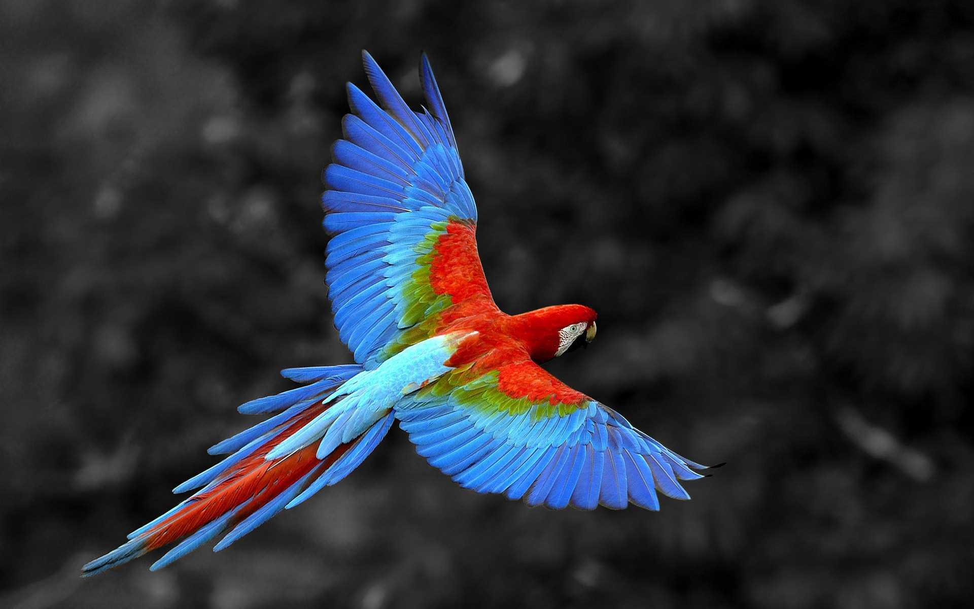 Scarlet Macaw Bird, HD Birds, 4k Wallpapers, Image, Backgrounds