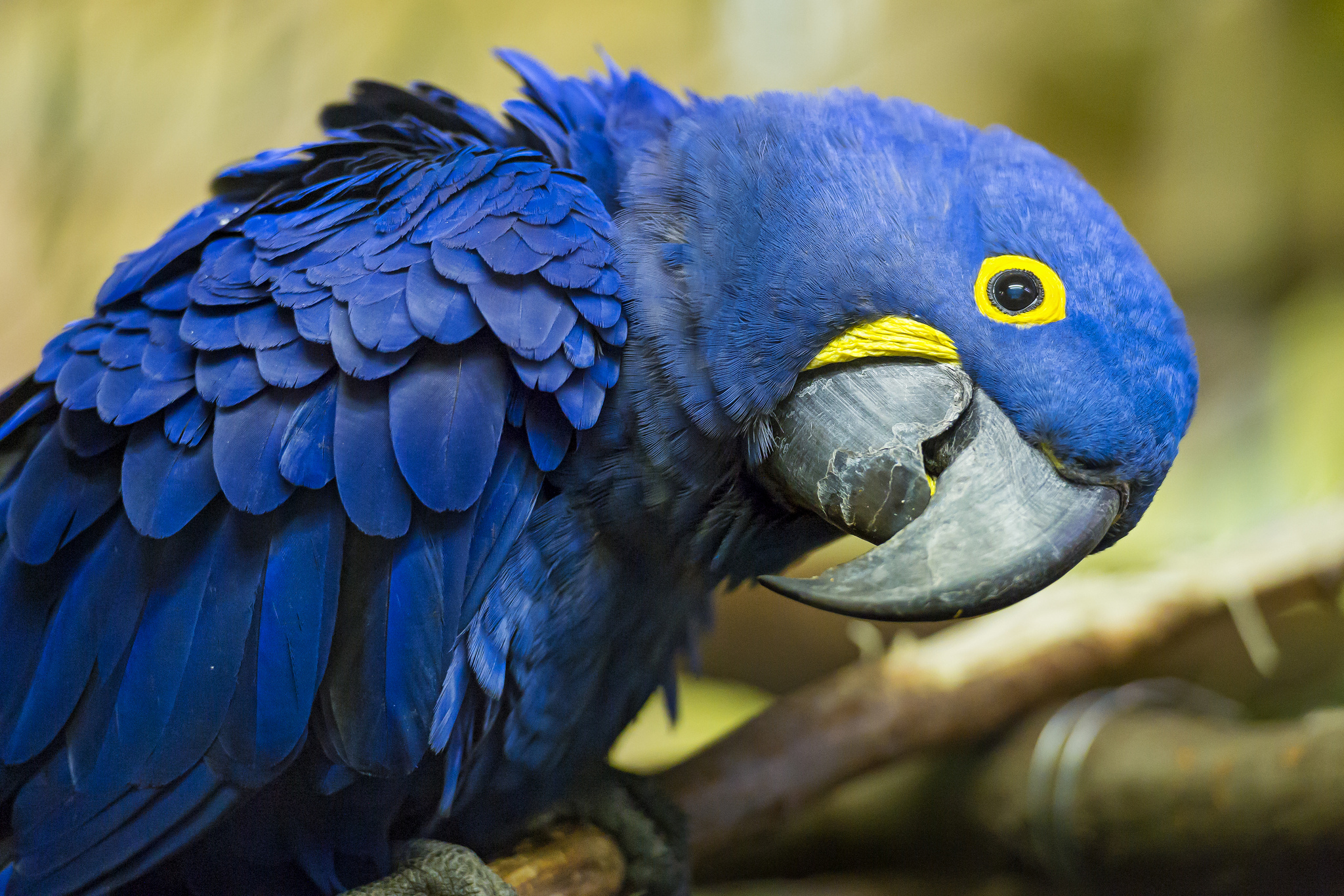 21 Hyacinth Macaw HD Wallpapers