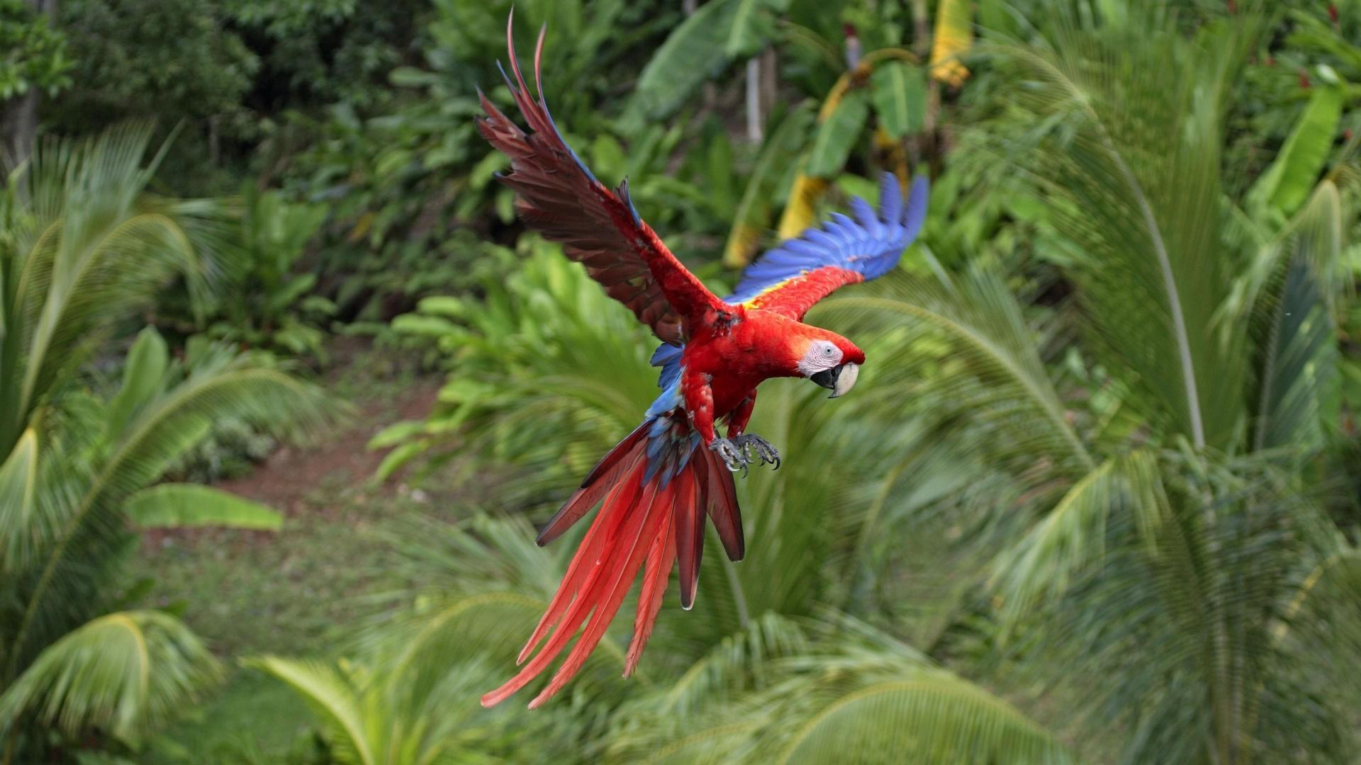 Macaw scarlet macaws birds flight parrots wallpapers