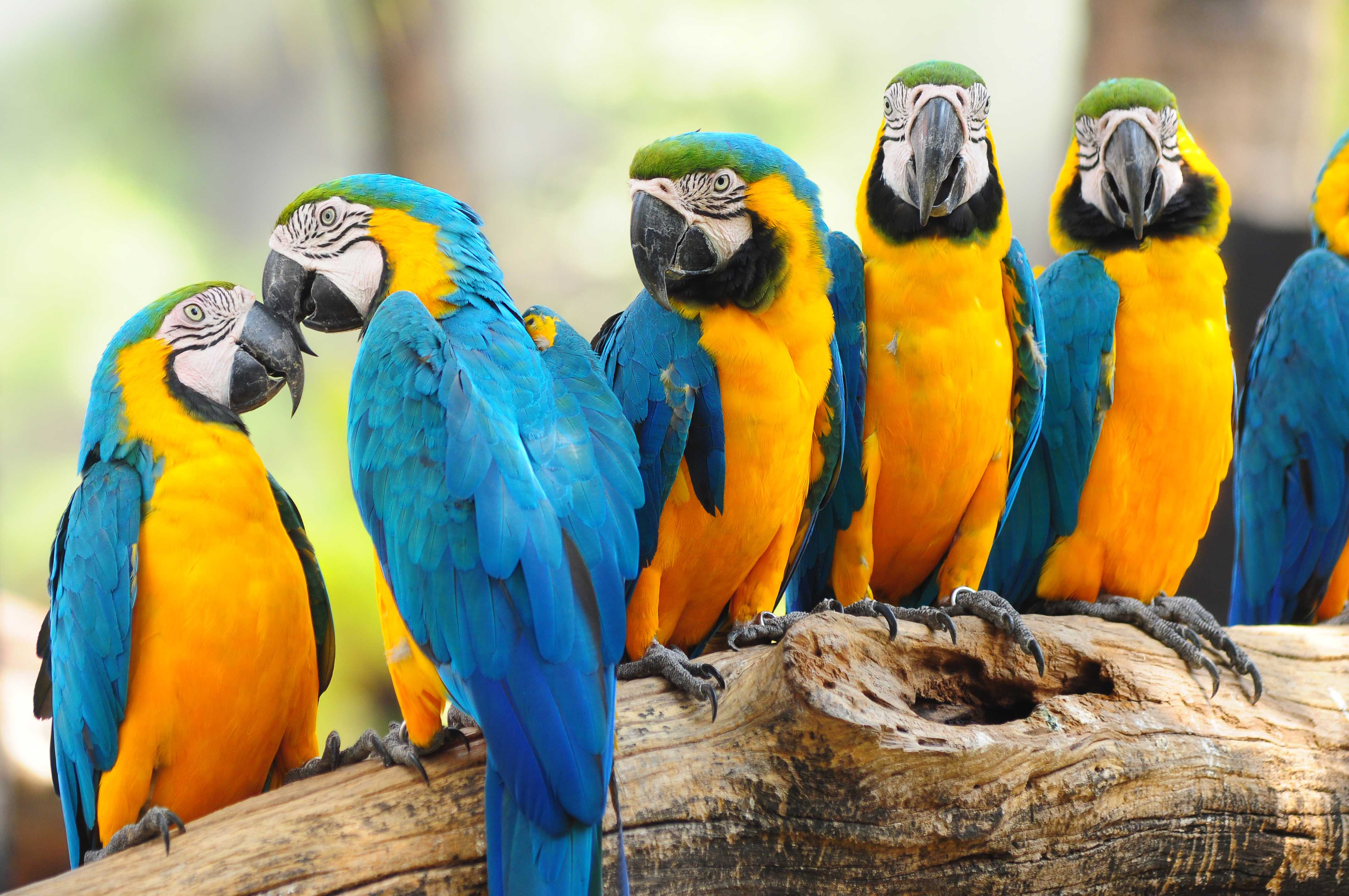 Blue And Yellow Macaw Wallpapers