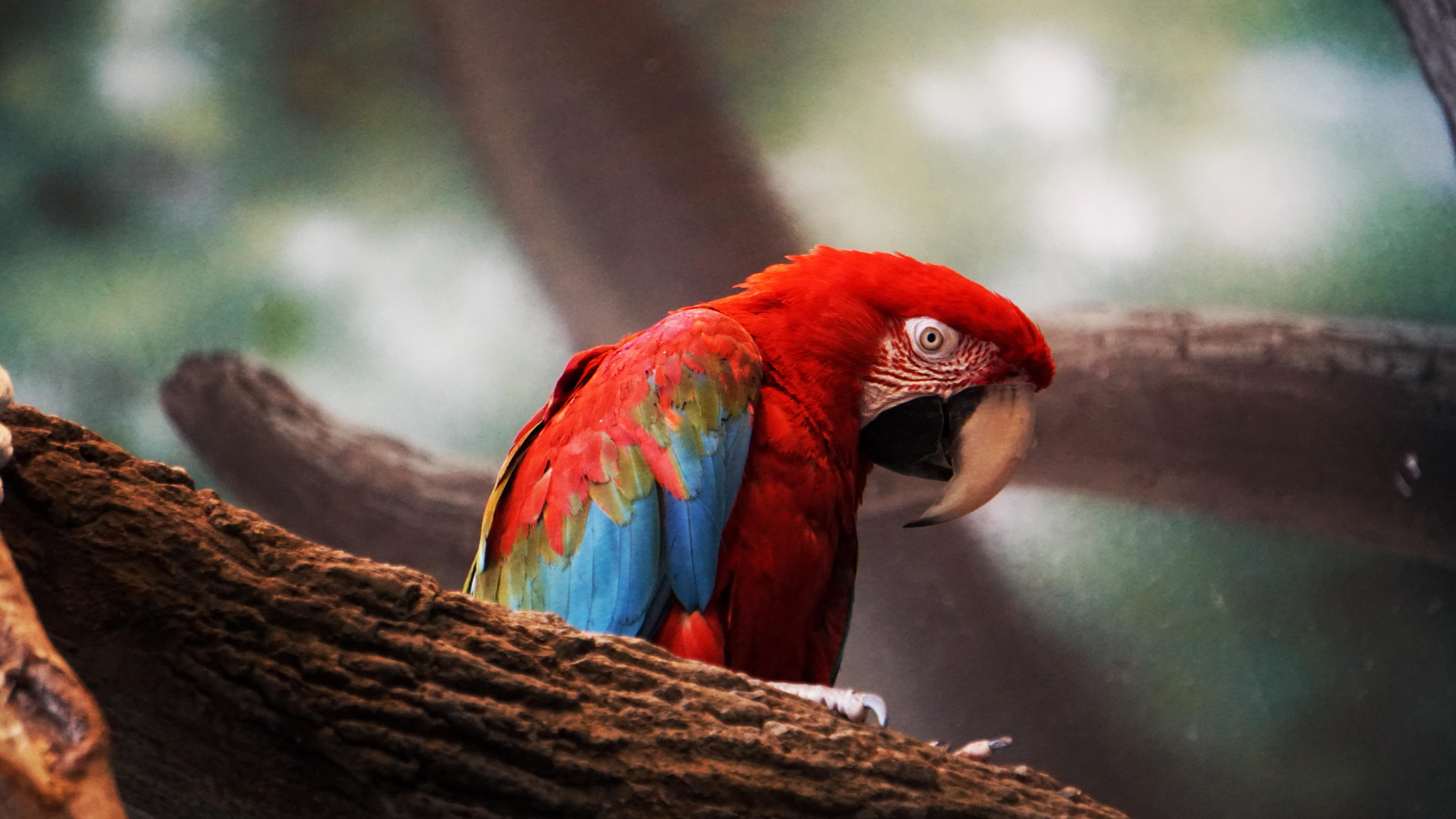 Macaw Parrot Closeup, HD Birds, 4k Wallpapers, Image, Backgrounds