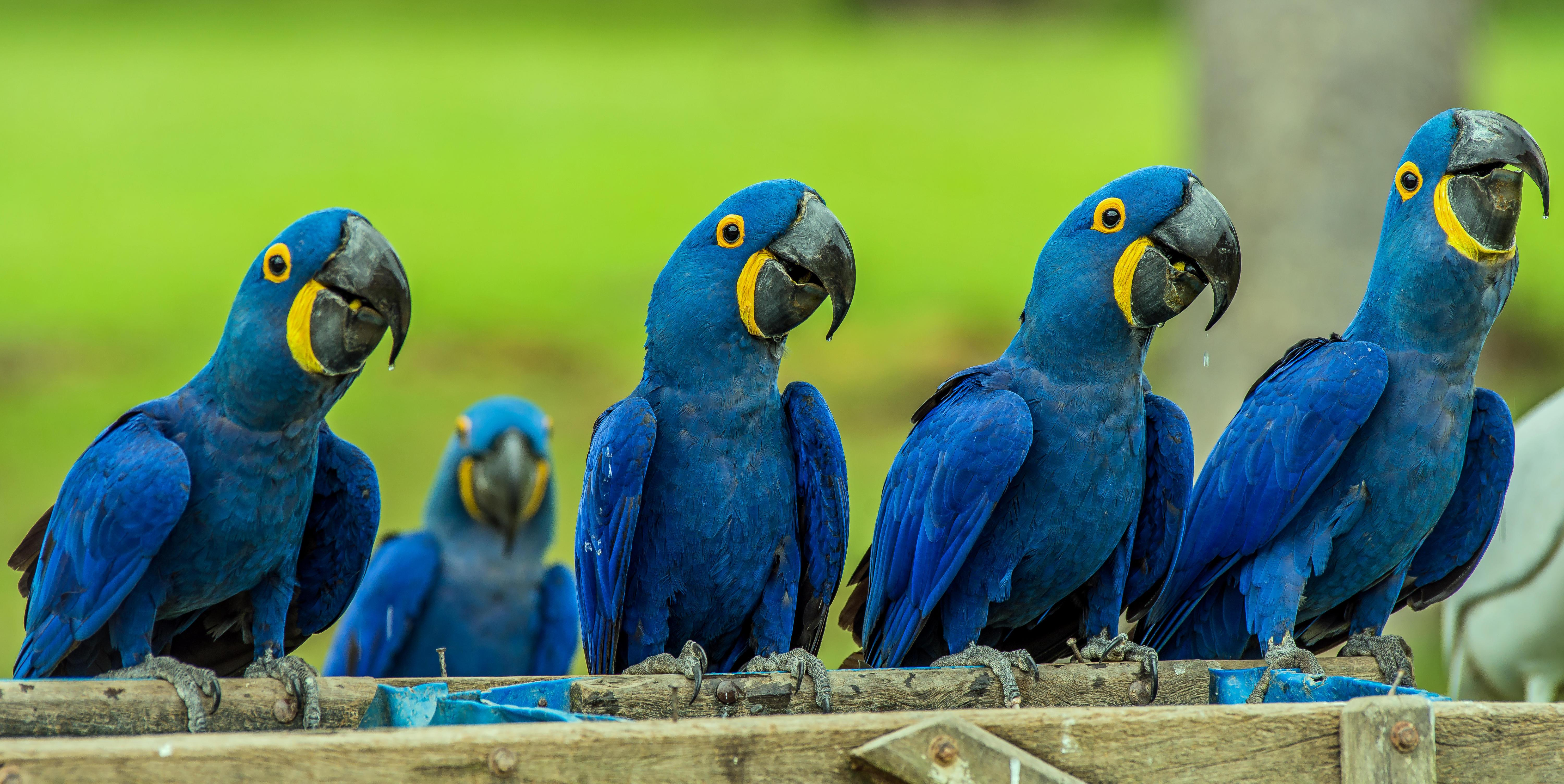 Hyacinth Macaw HD Wallpapers free