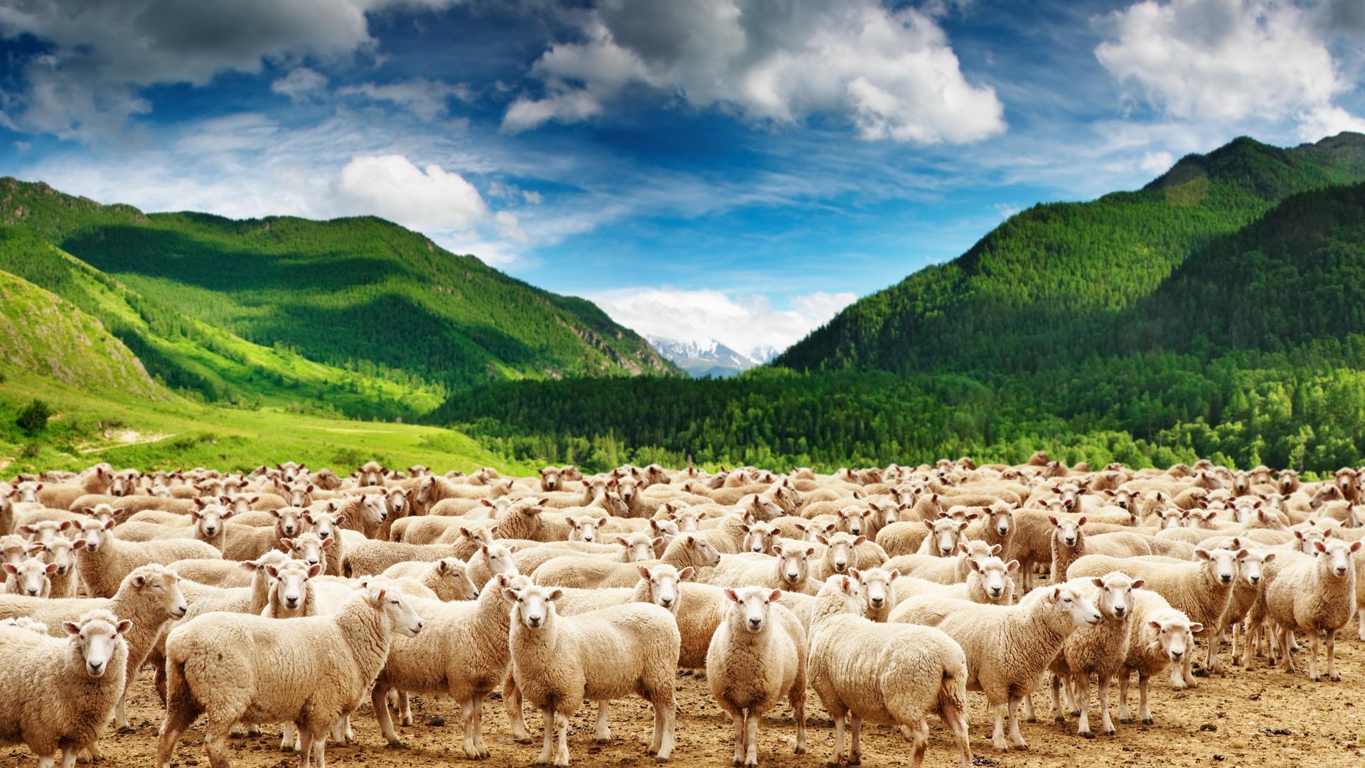 Днем, много овечек картинка