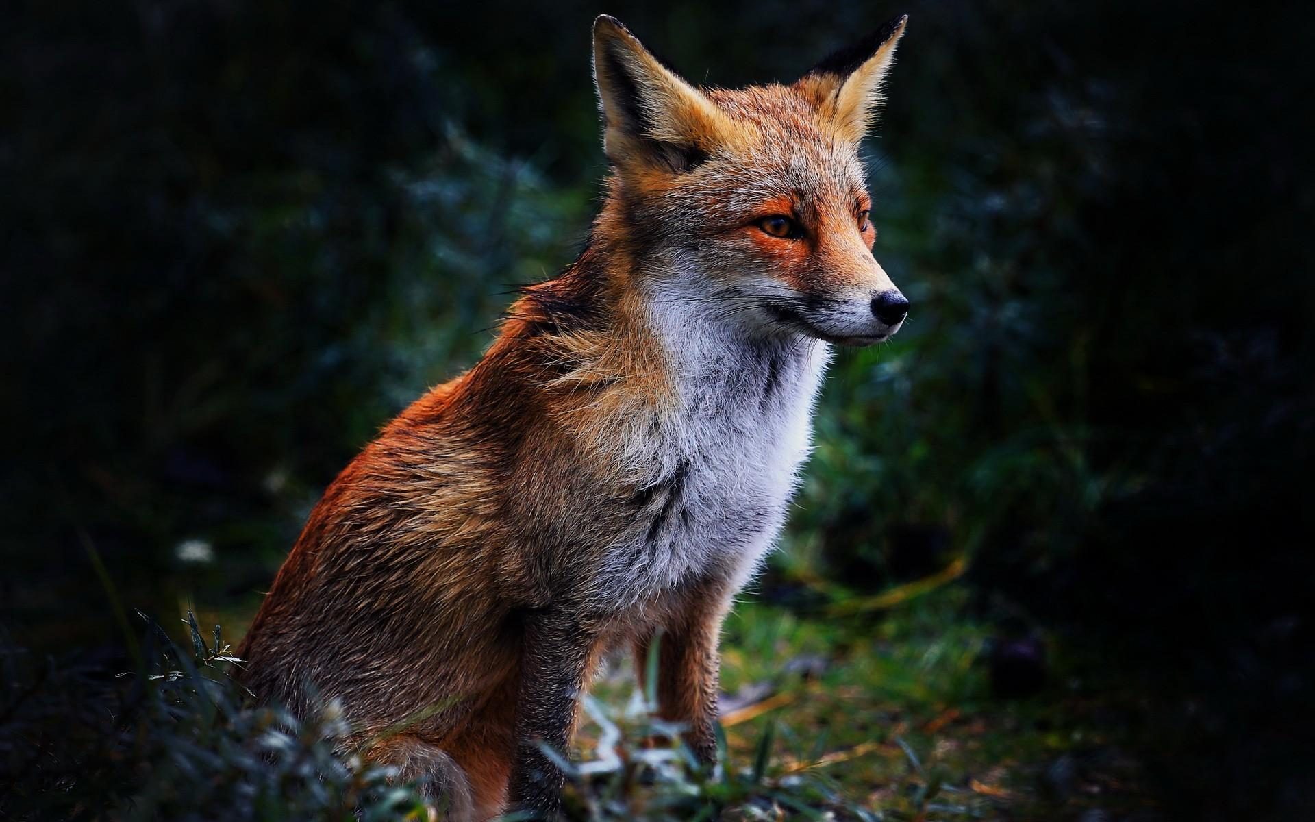 Red Fox Hd Wallpapers Wallpaper Cave