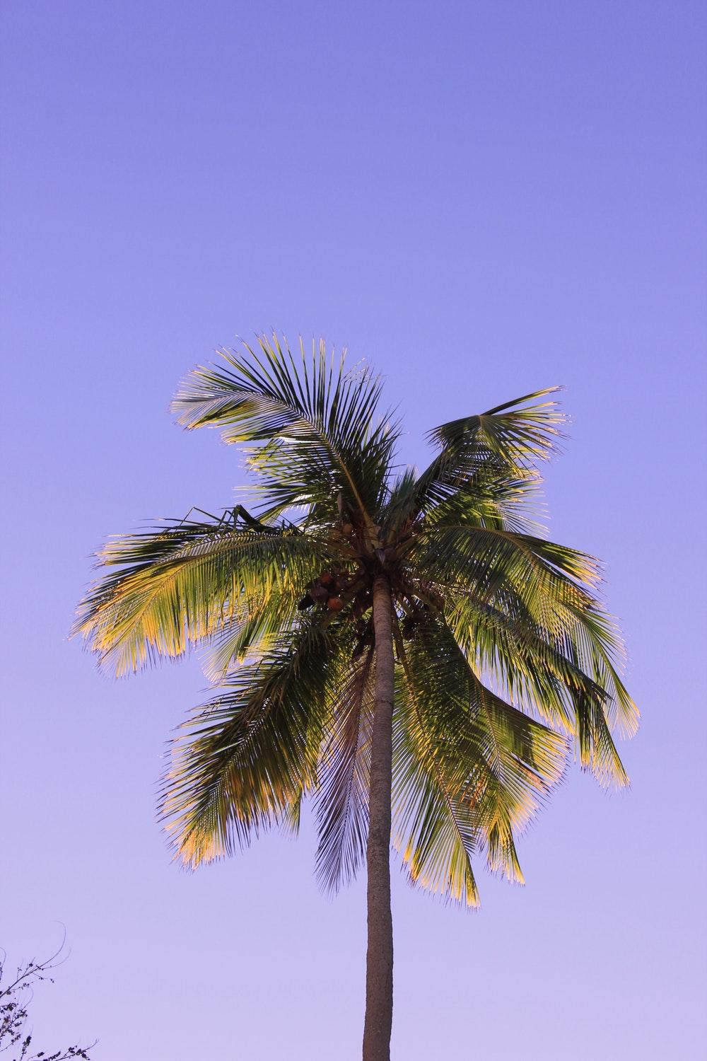 Best 500+ Coconut Tree Pictures [HD]