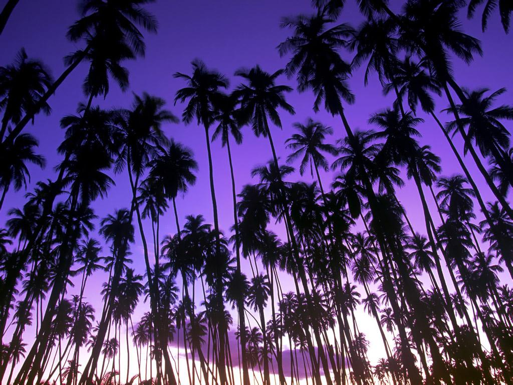 Coconuts On Palm Tree Wallpapers 6