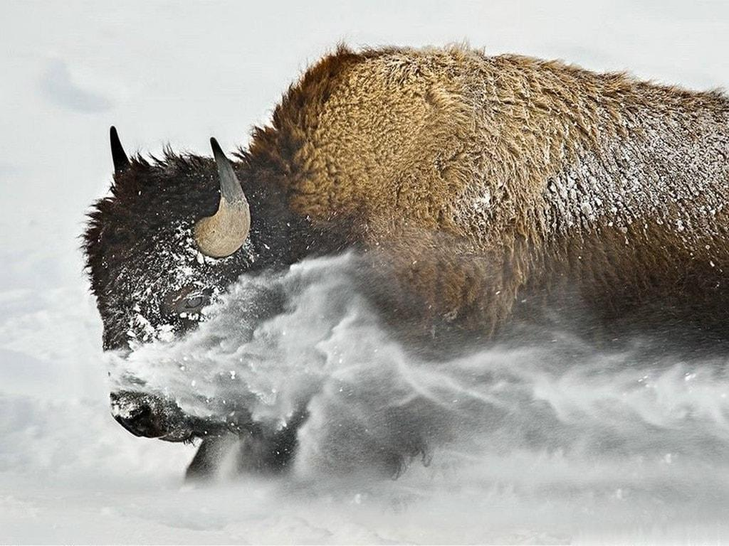 Buffalo HD Wallpapers