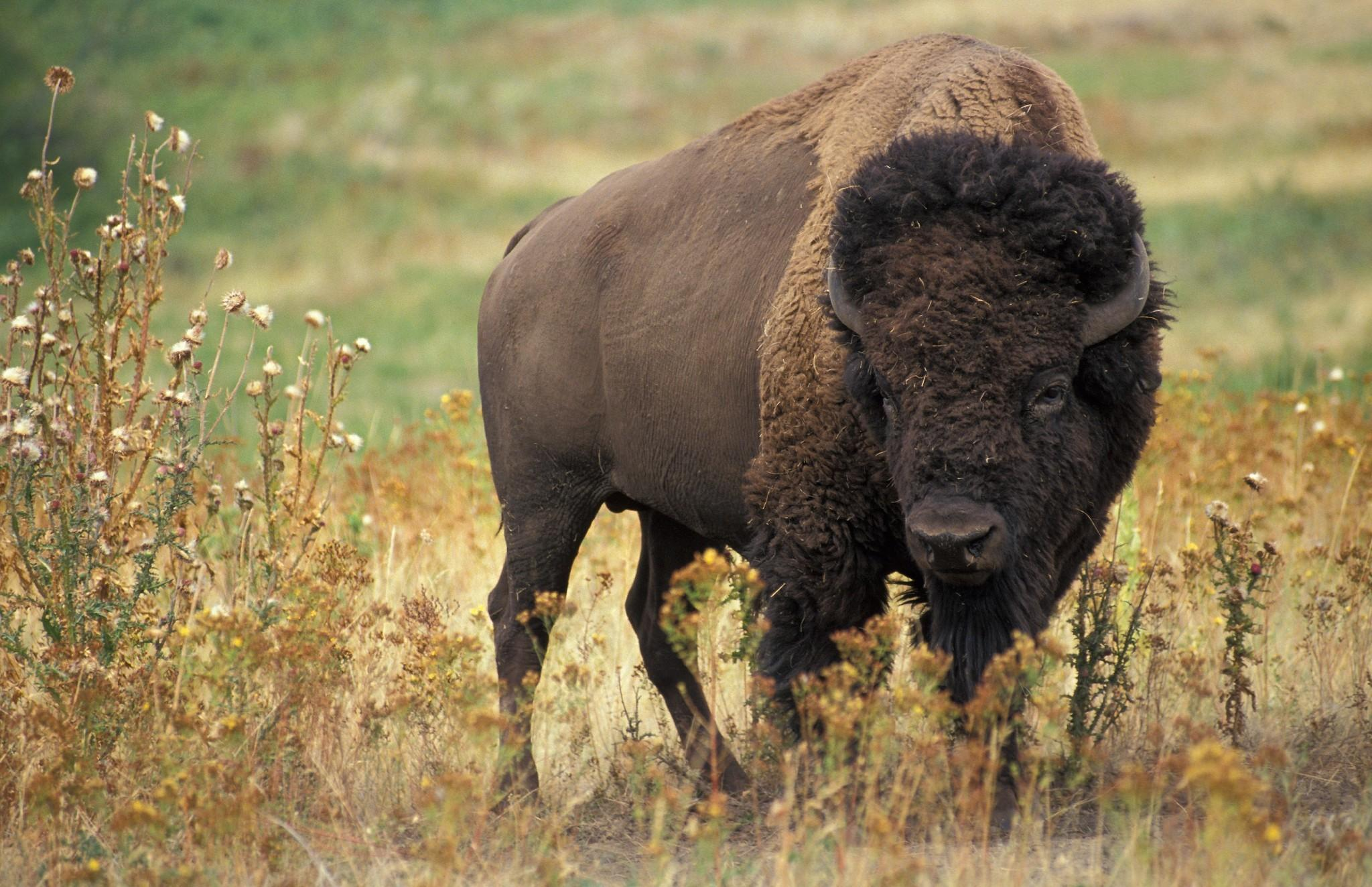 Download 2048x1324 American Bison, Field, Horns, Buffalo Wallpapers