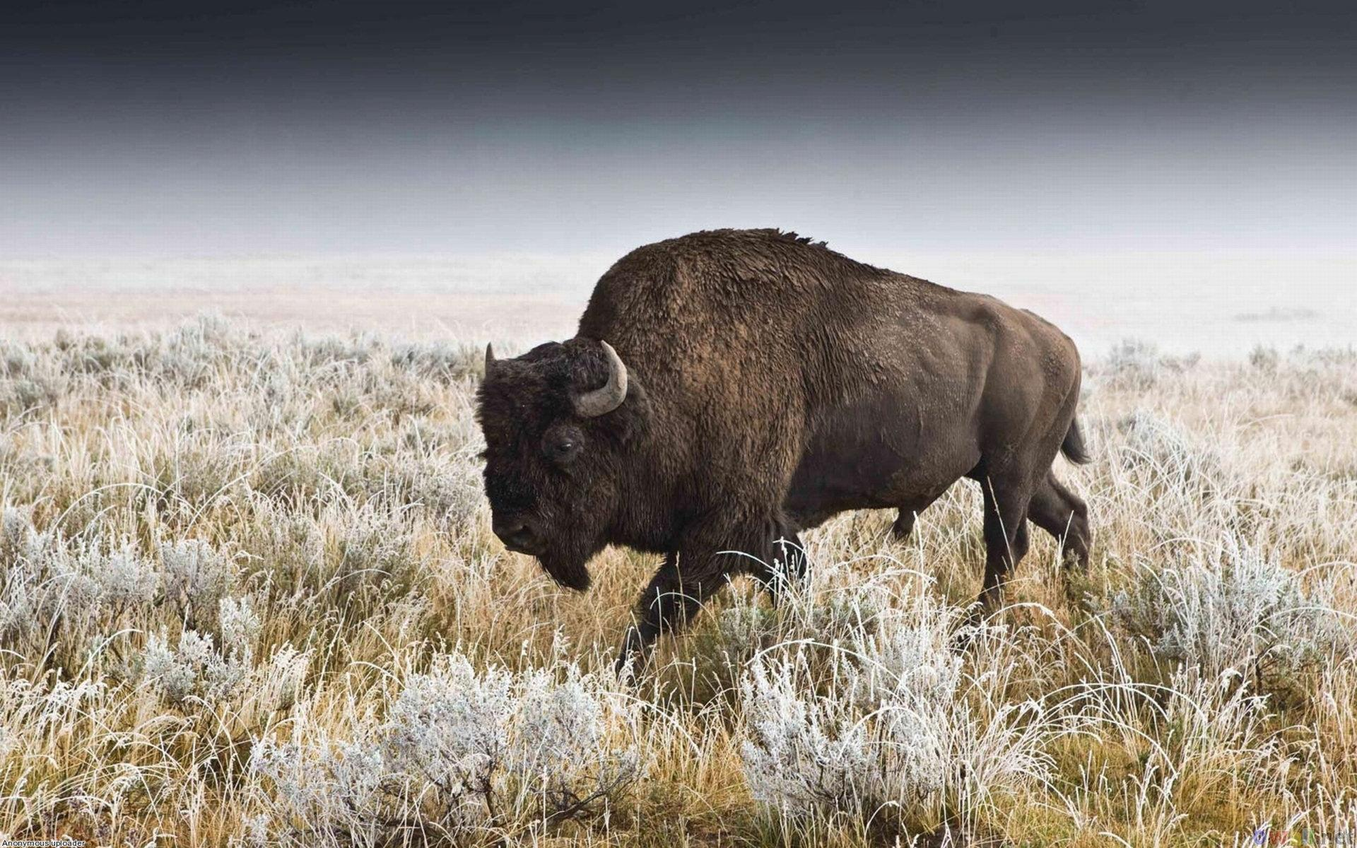 Buffalo wallpapers 1920x1200 desktop backgrounds