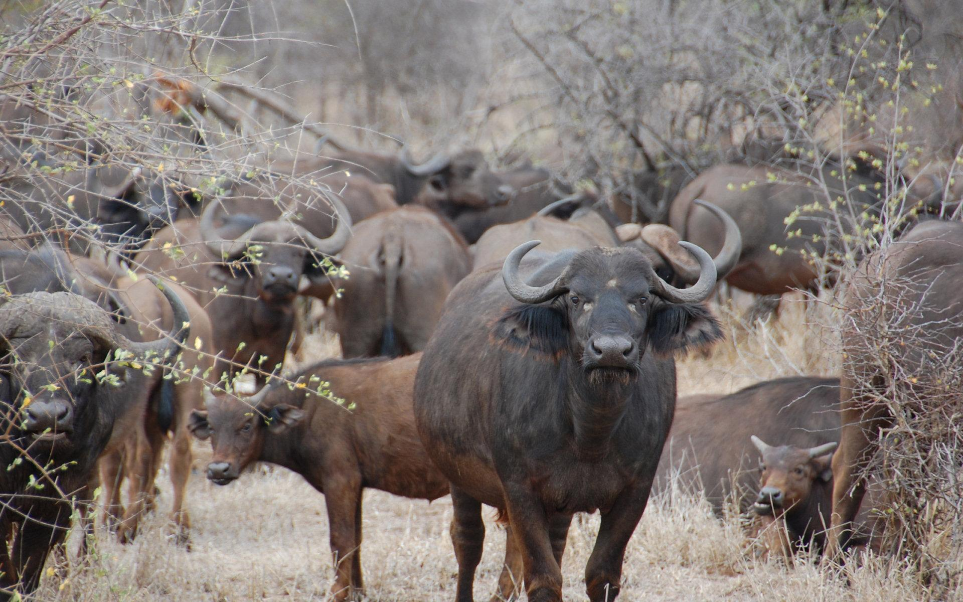 African Buffalo Wallpapers 7
