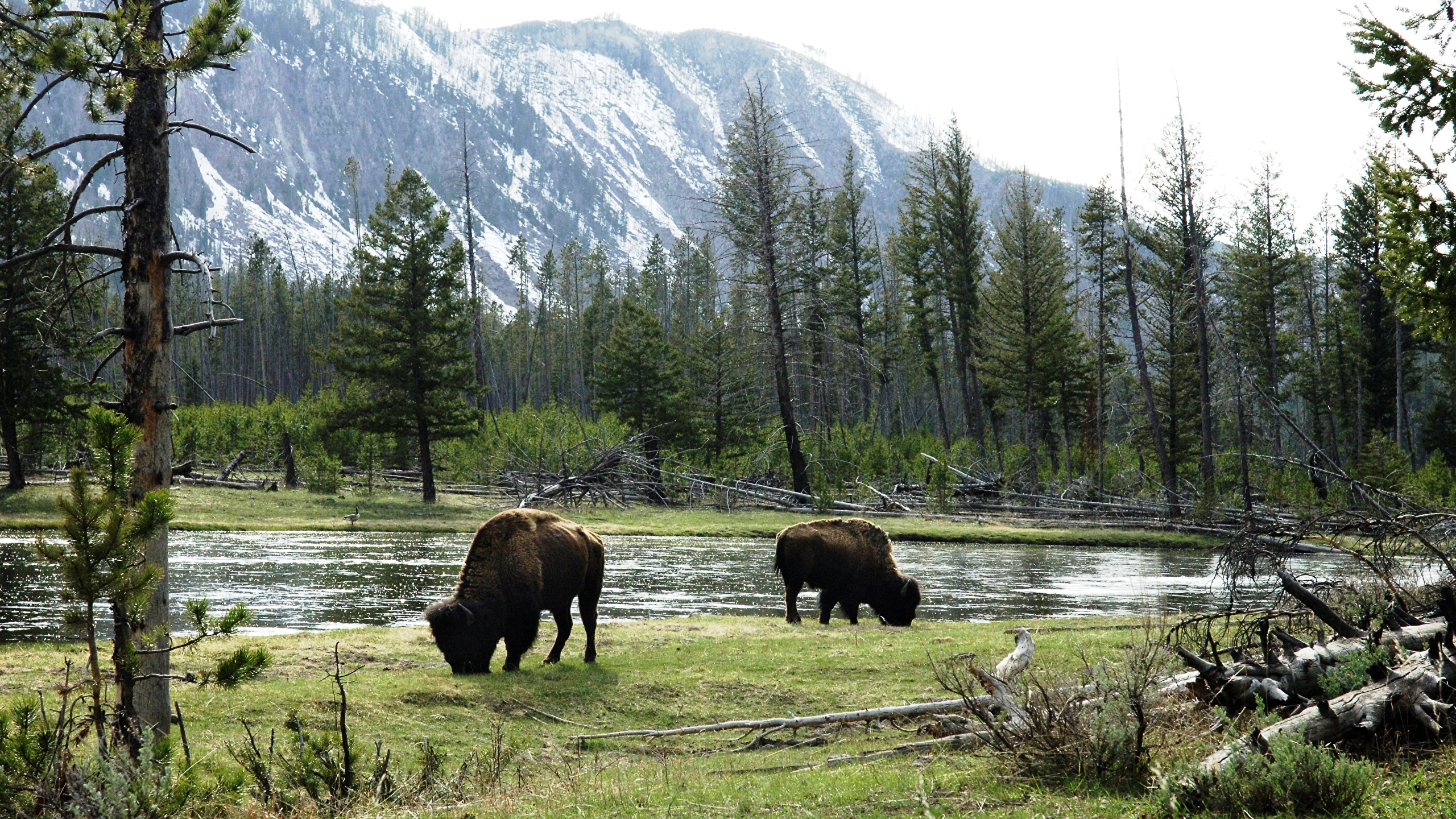 Wallpapers American buffalo Nature Mountains Forests Grass 2560x1440