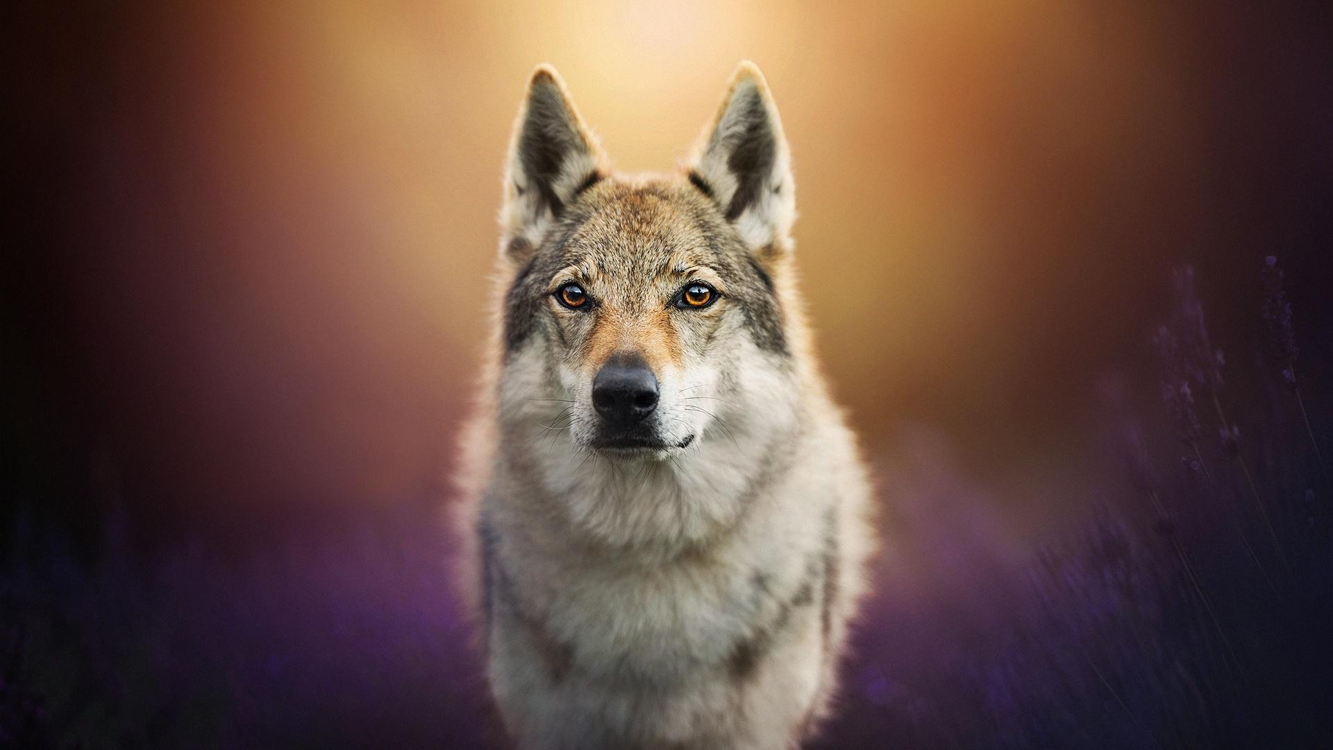 Wolfdog Wallpapers Wallpaper Cave