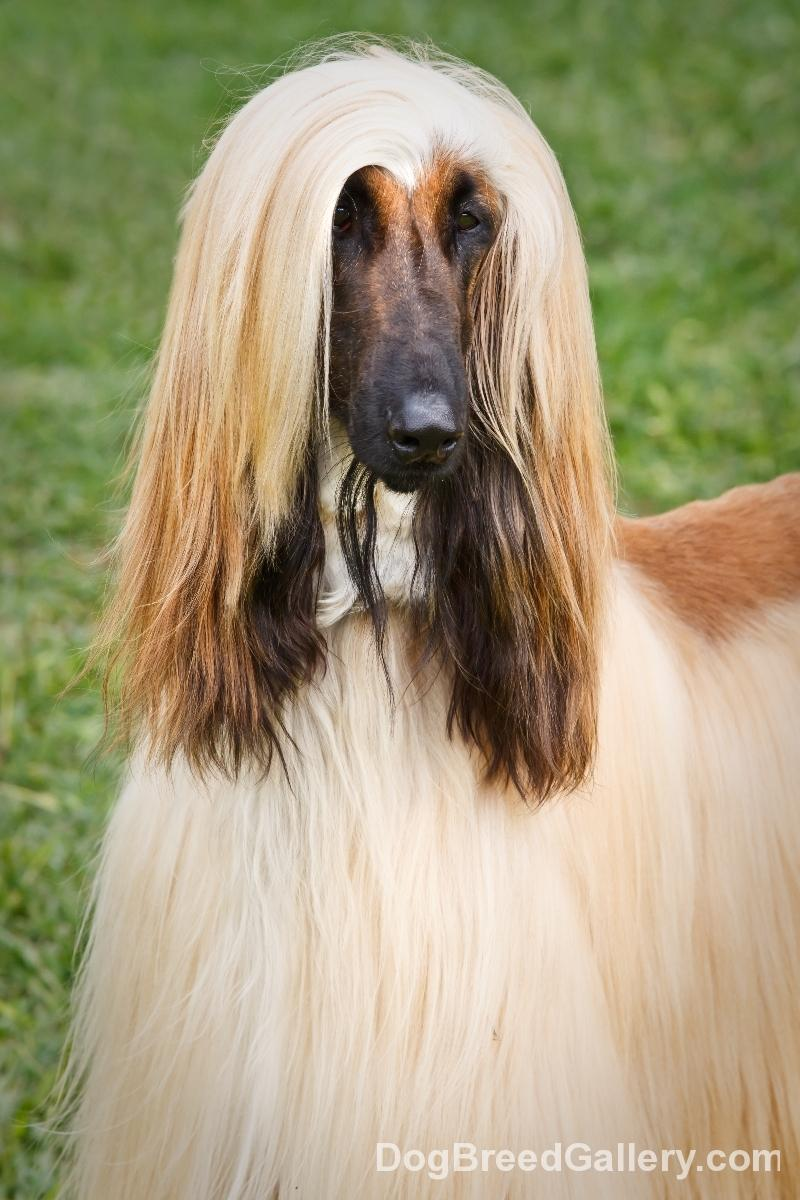Afghan Hound Wallpapers - Wallpaper Cave