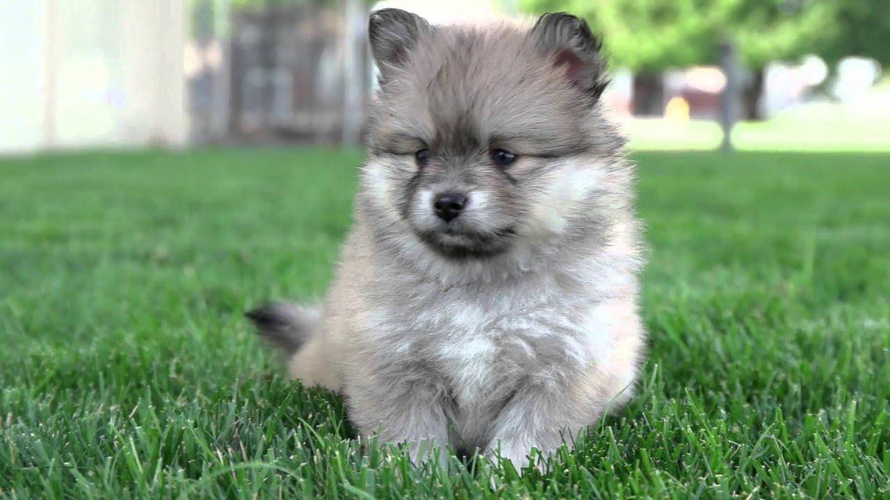 7 Weeks Old Pomsky Puppies So Cute And Energetic! Pomsky Puppies For .