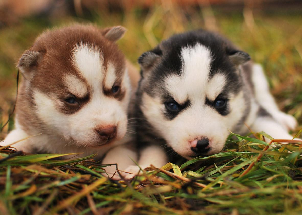 Puppies images Puppies HD wallpaper and background photos (29017060)