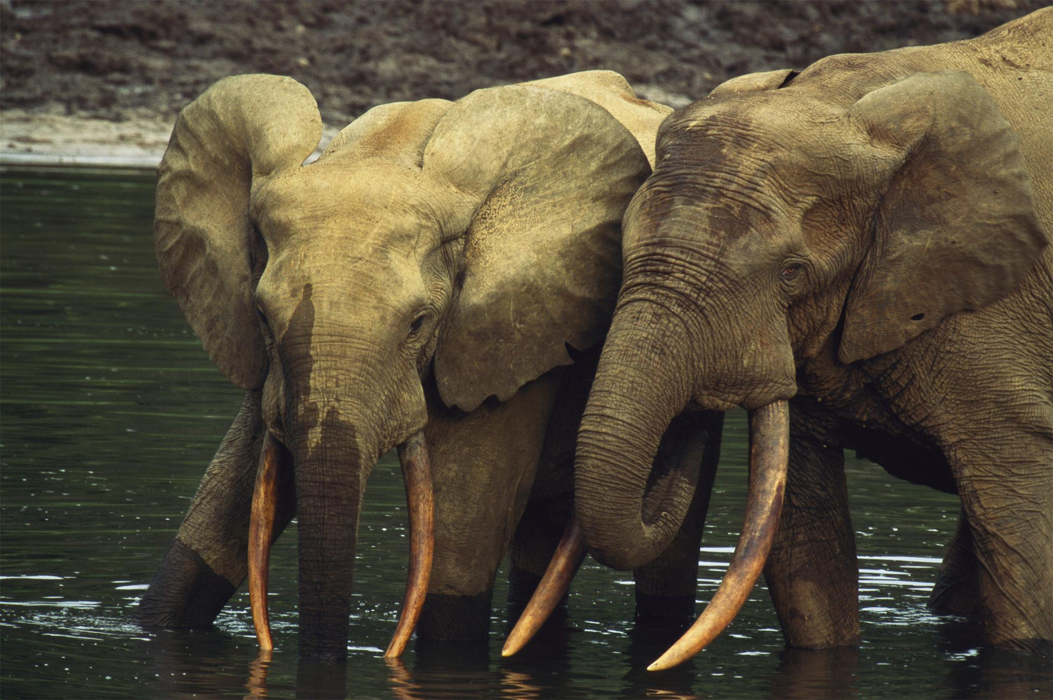 African Elephant Animals HD Wallpapers