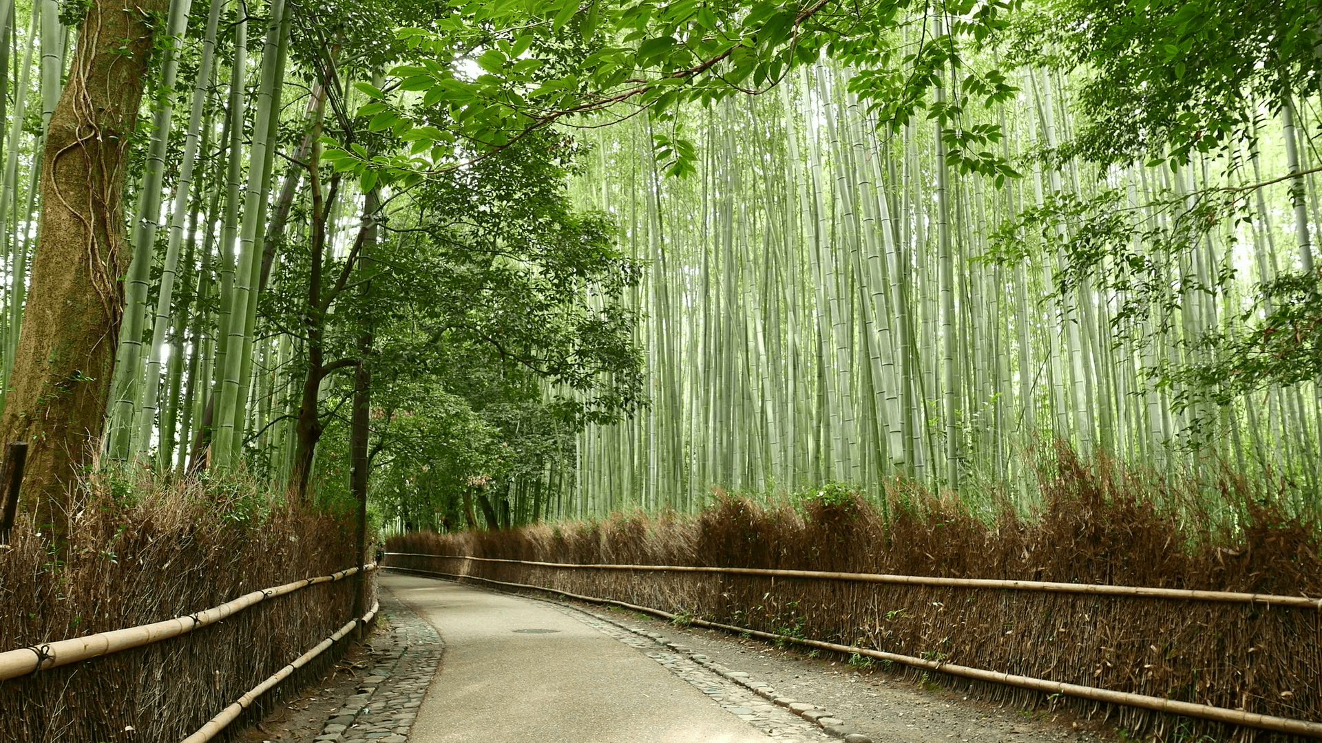 Arashiyama Bamboo Forest in Kyoto of Japan Stock Video Footage
