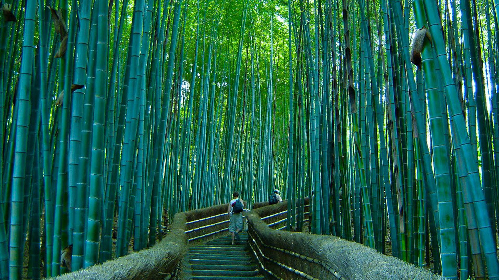 Beautiful pathway in the Sagano bamboo forest : pics