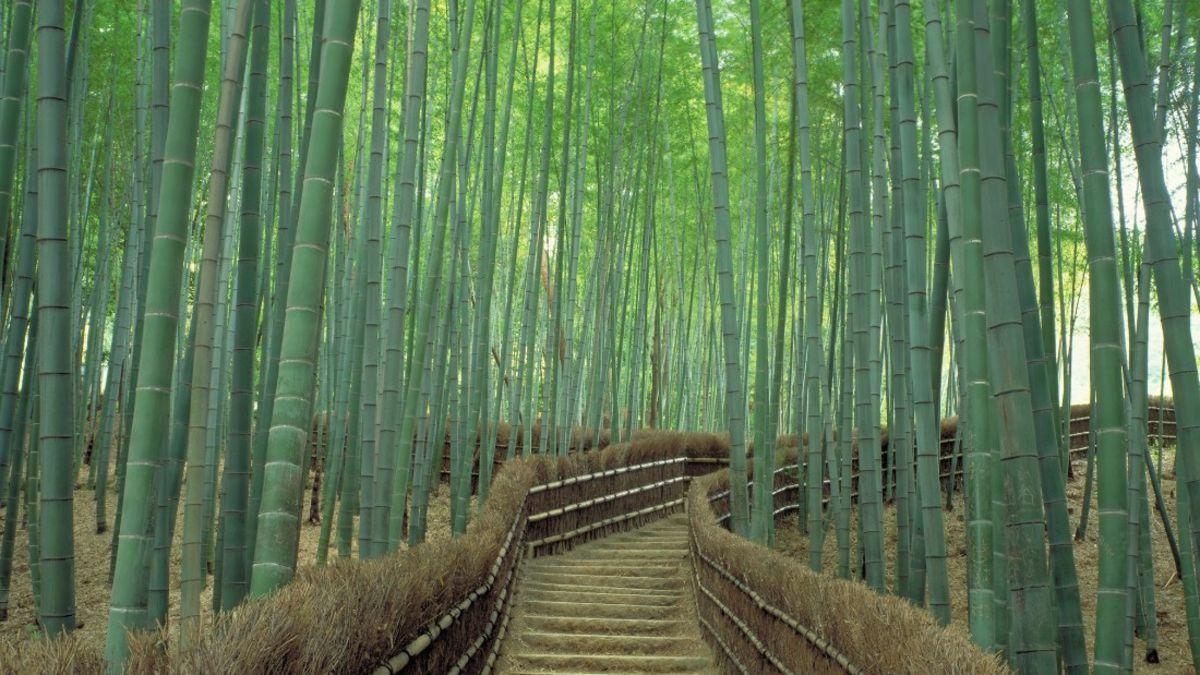 Sagano Bamboo Forest in Kyoto: One of world's prettiest groves