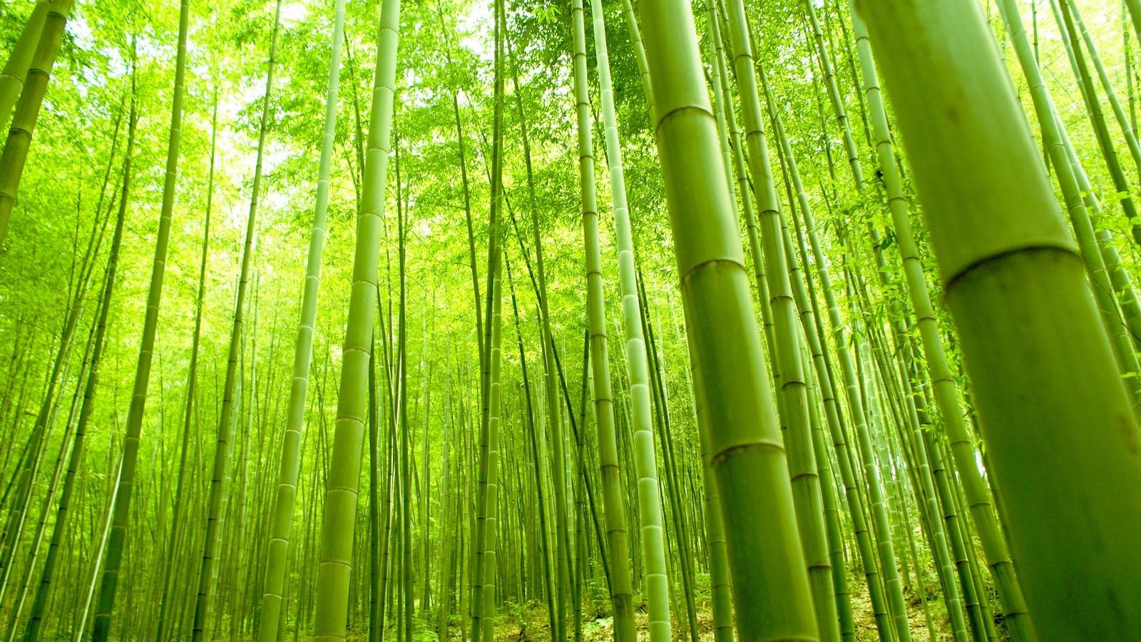Japan Bamboo forest Wallpapers Magnificent Bamboo forest Japan Puter