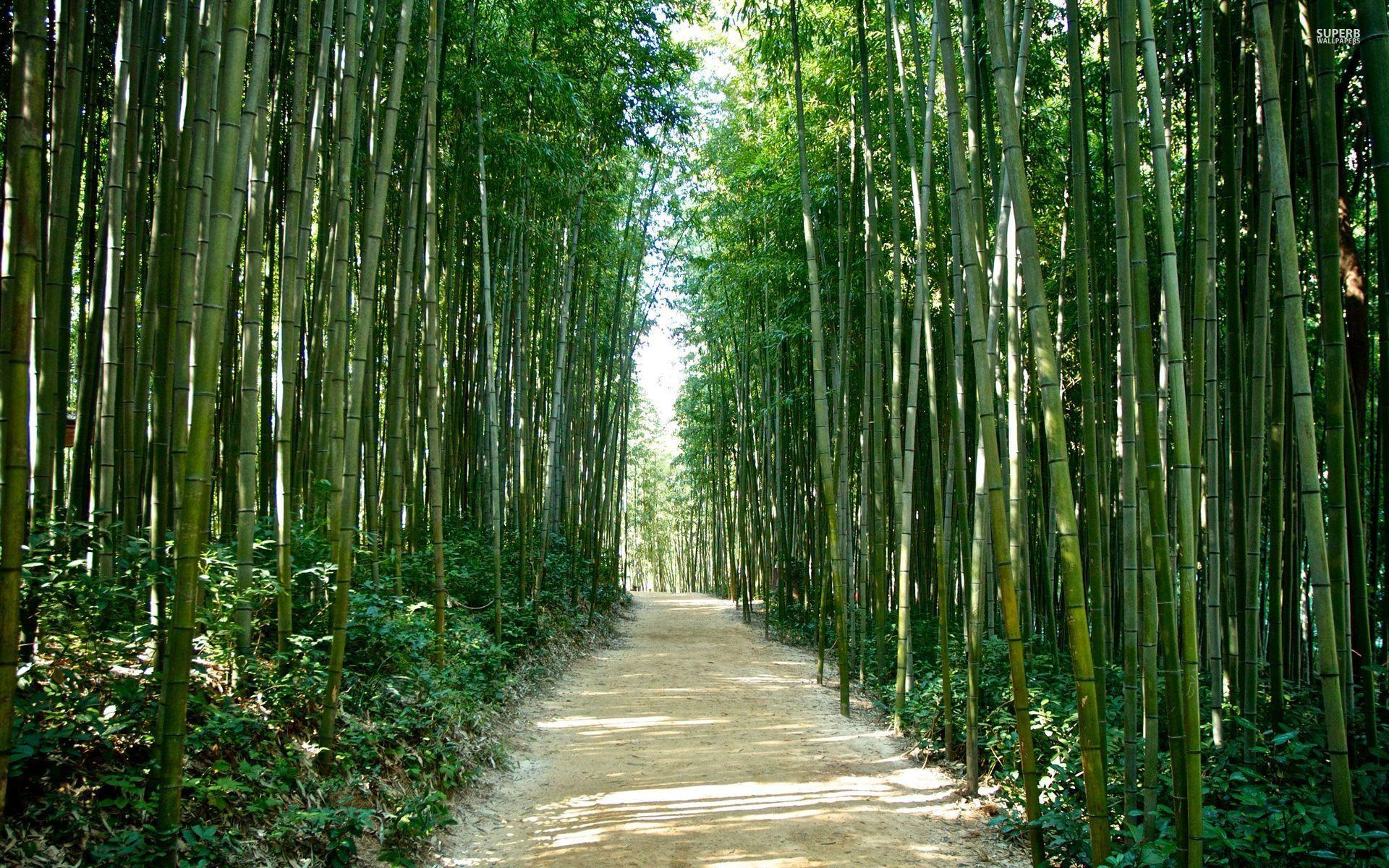 Japan Bamboo forest Wallpapers Elegant Sagano Bamboo forest Japan