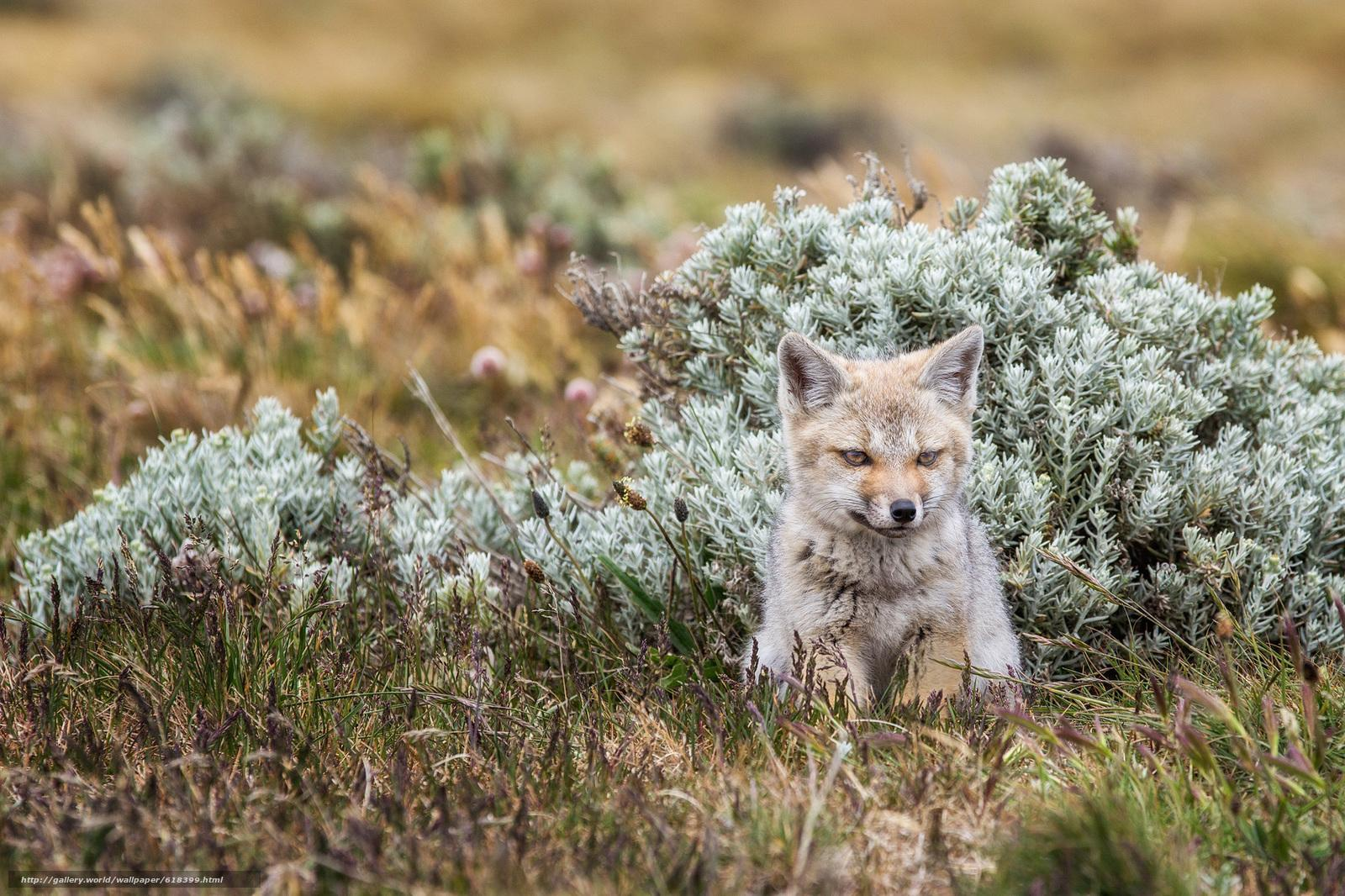 Download wallpapers fox, Tierra del Fuego, fox free desktop wallpapers