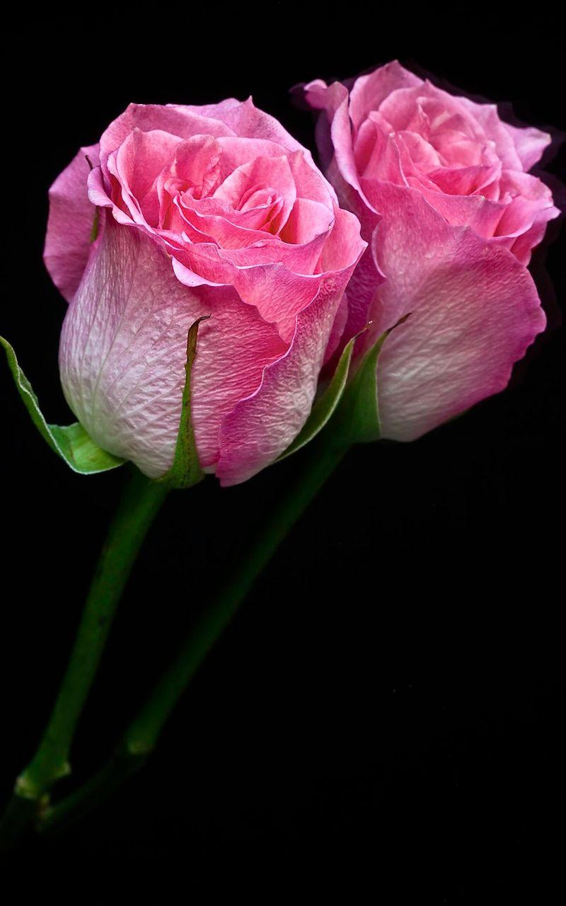 Mobile Wallpapers Rose 3d