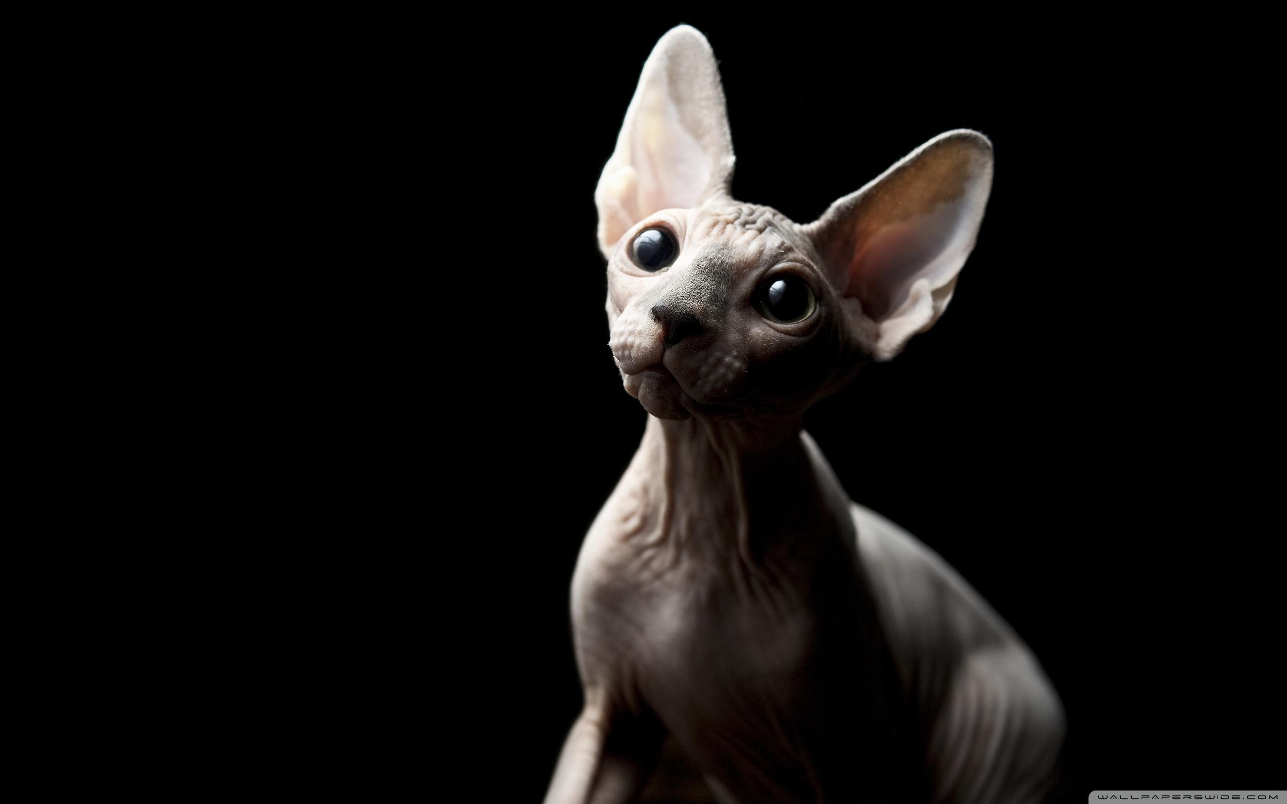 Sphynx Cat Wallpapers Wallpaper Cave