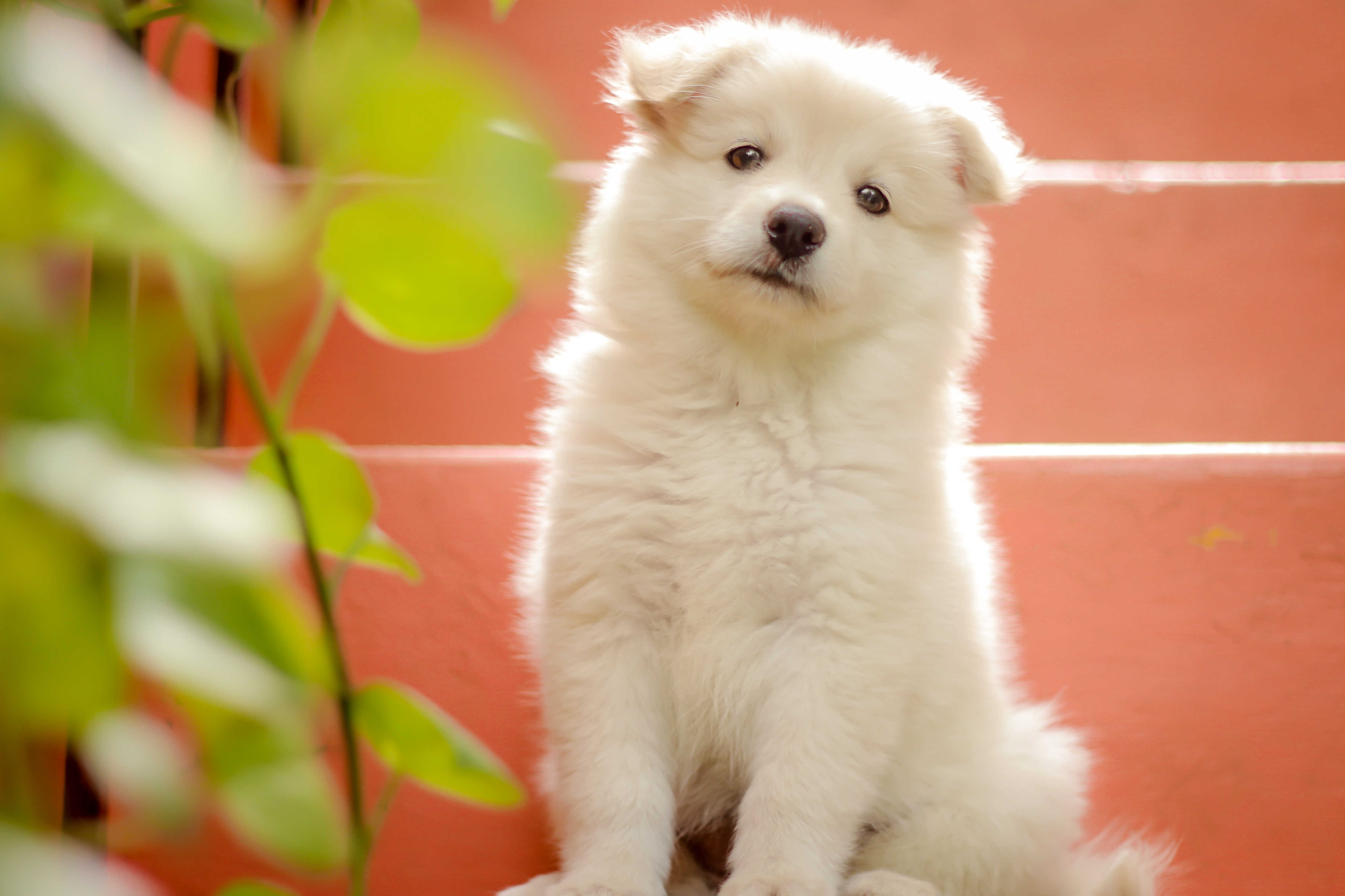 Japanese Spitz Wallpapers Wallpaper Cave