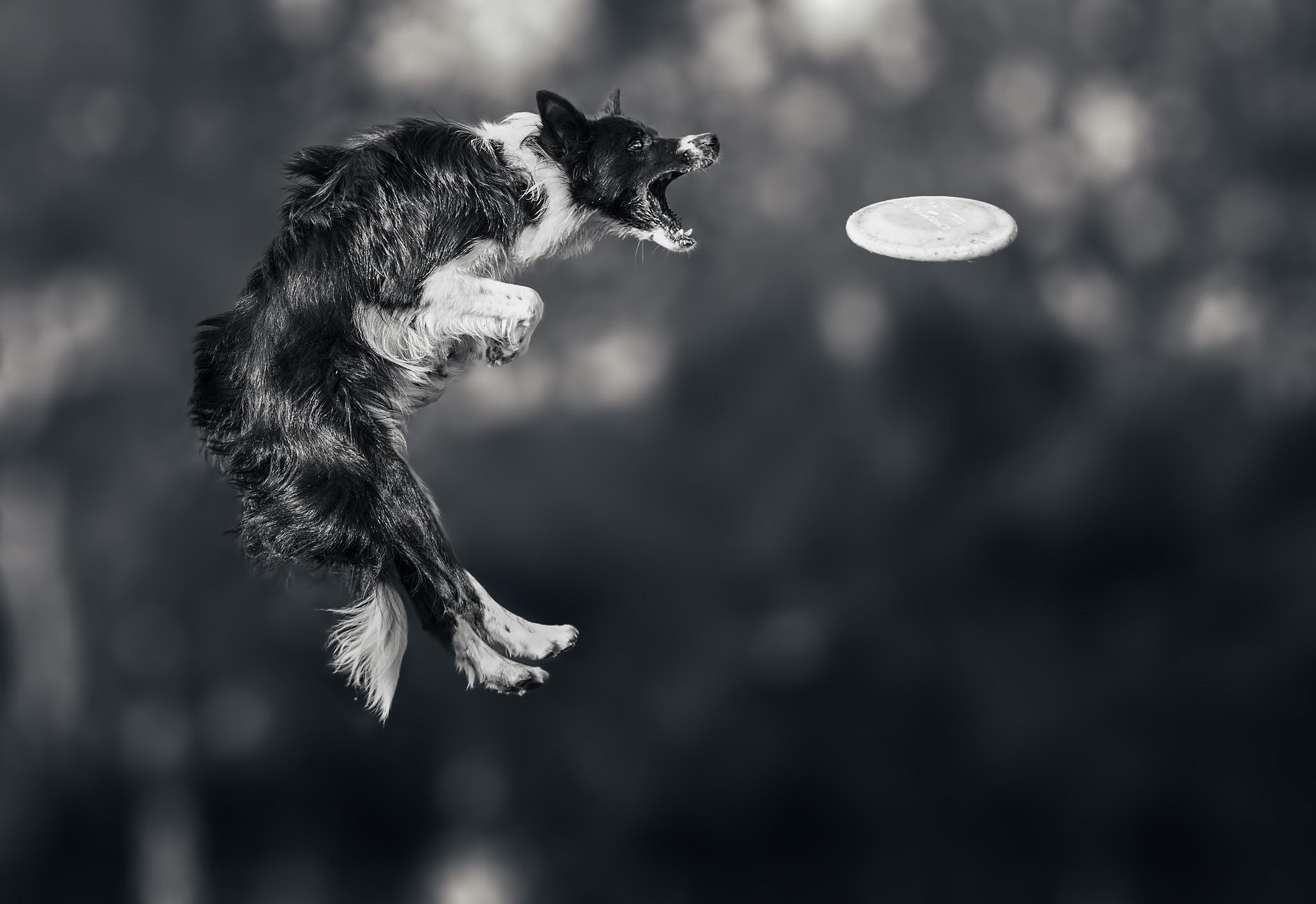 Picture Border Collie Dogs Frisbee Jump Animals