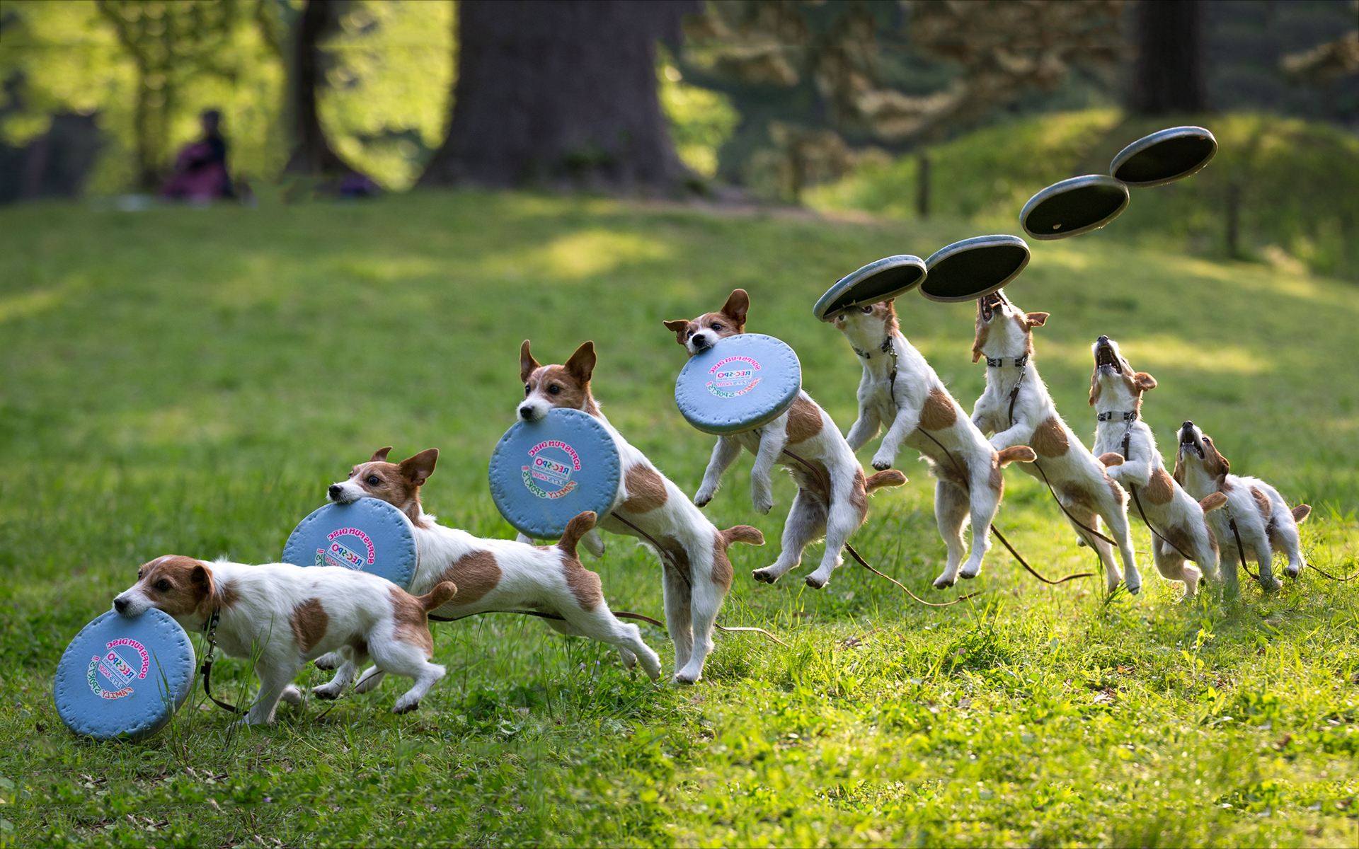 Dog frisbee catch wallpapers